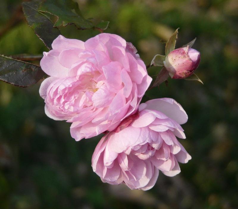 Fiori Simili Alle Rose Nome.Il Nuovo Cercarose 2000 Rose Dal Roseto Di San Giovanni