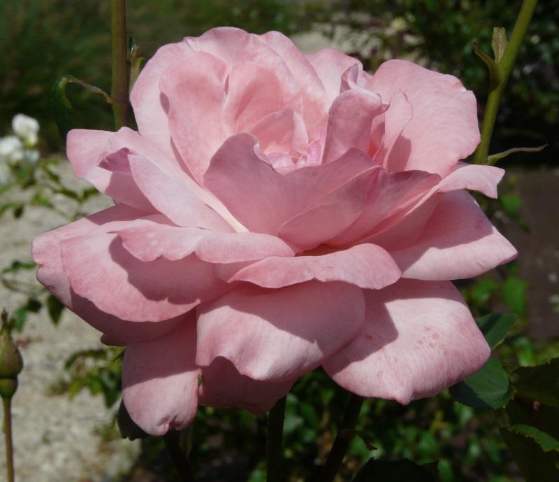 il nuovo CercaRose: 2000 rose dal \