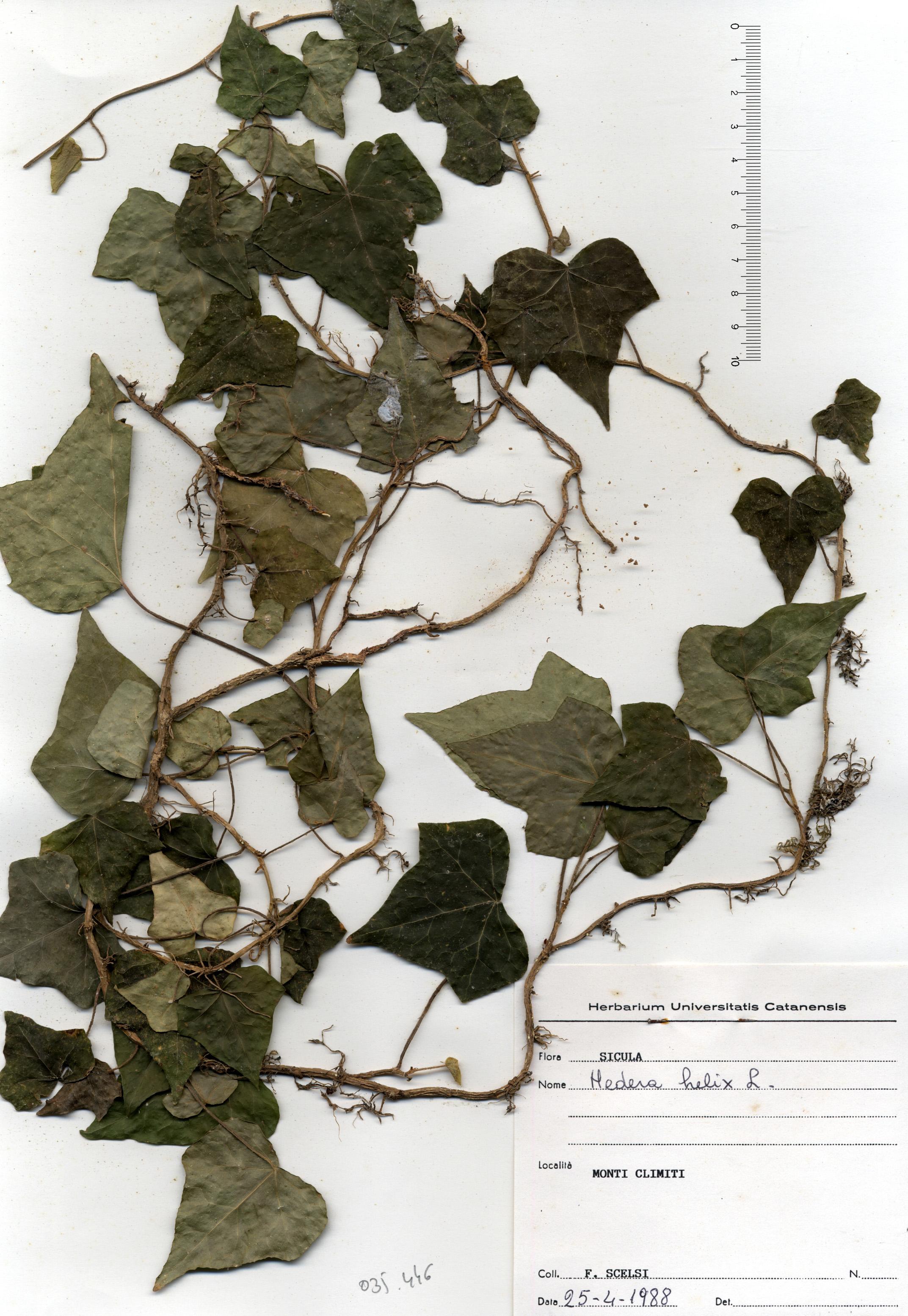 © Hortus Botanicus Catinensis - Herb. sheet 035446<br>
