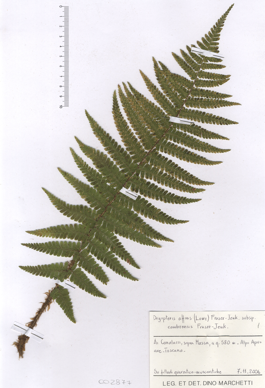 © Hortus Botanicus Catinensis - Herb. sheet 002867<br>