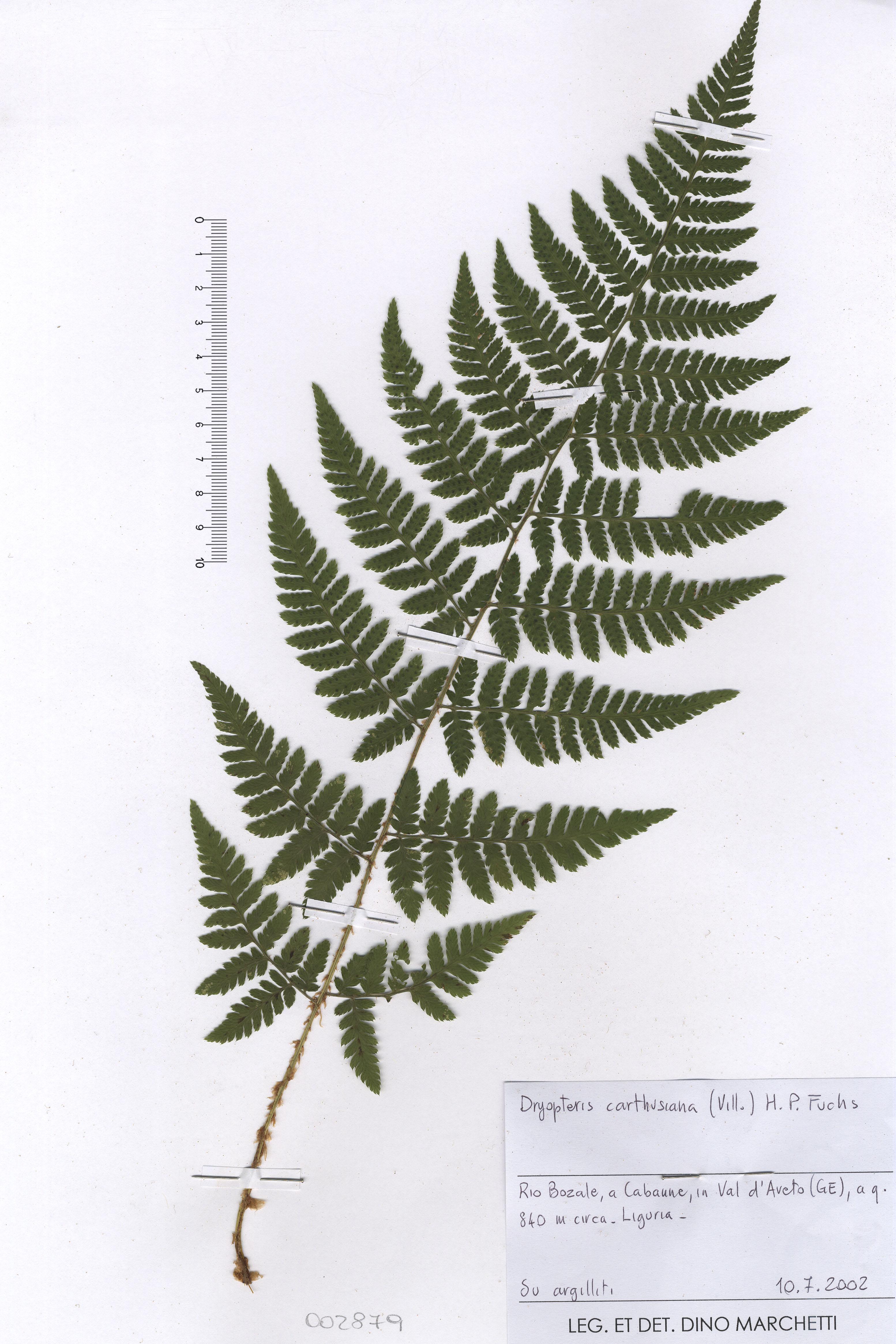 © Hortus Botanicus Catinensis - Herb. sheet 002879<br>