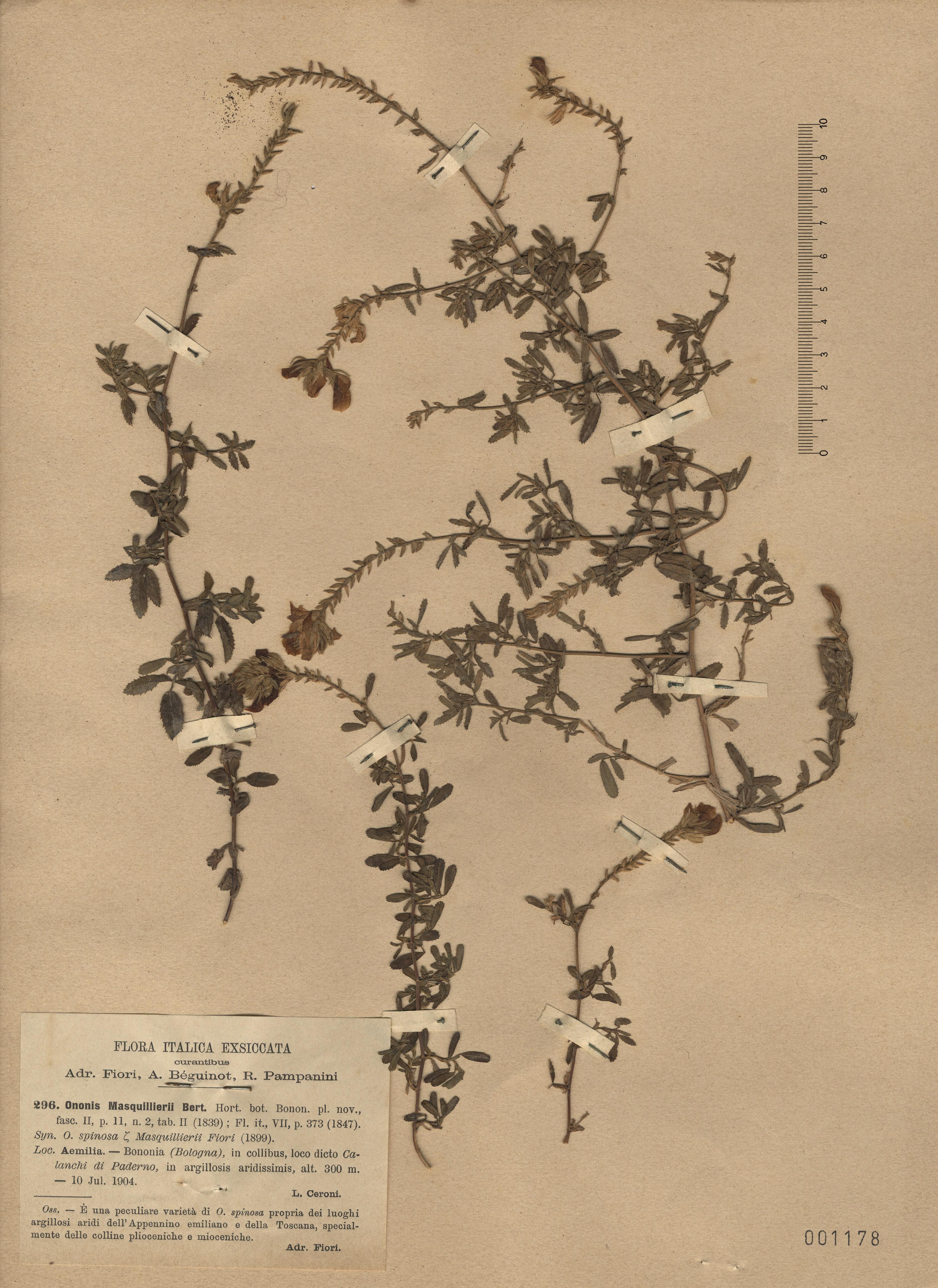 © Hortus Botanicus Catinensis - Herb. sheet 001178<br>