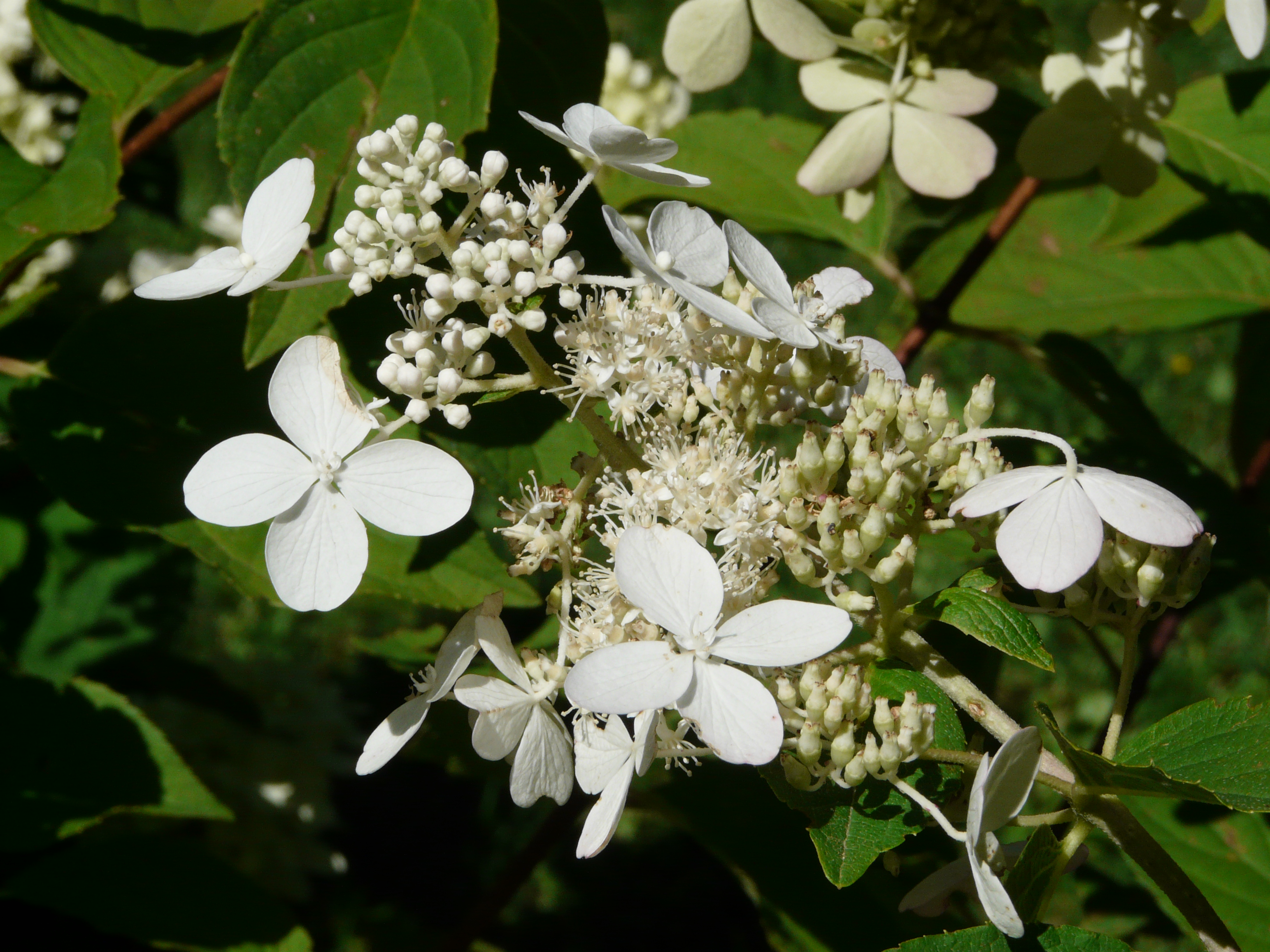 hydrangea paniculata siebold 39 grandiflora 39. Black Bedroom Furniture Sets. Home Design Ideas