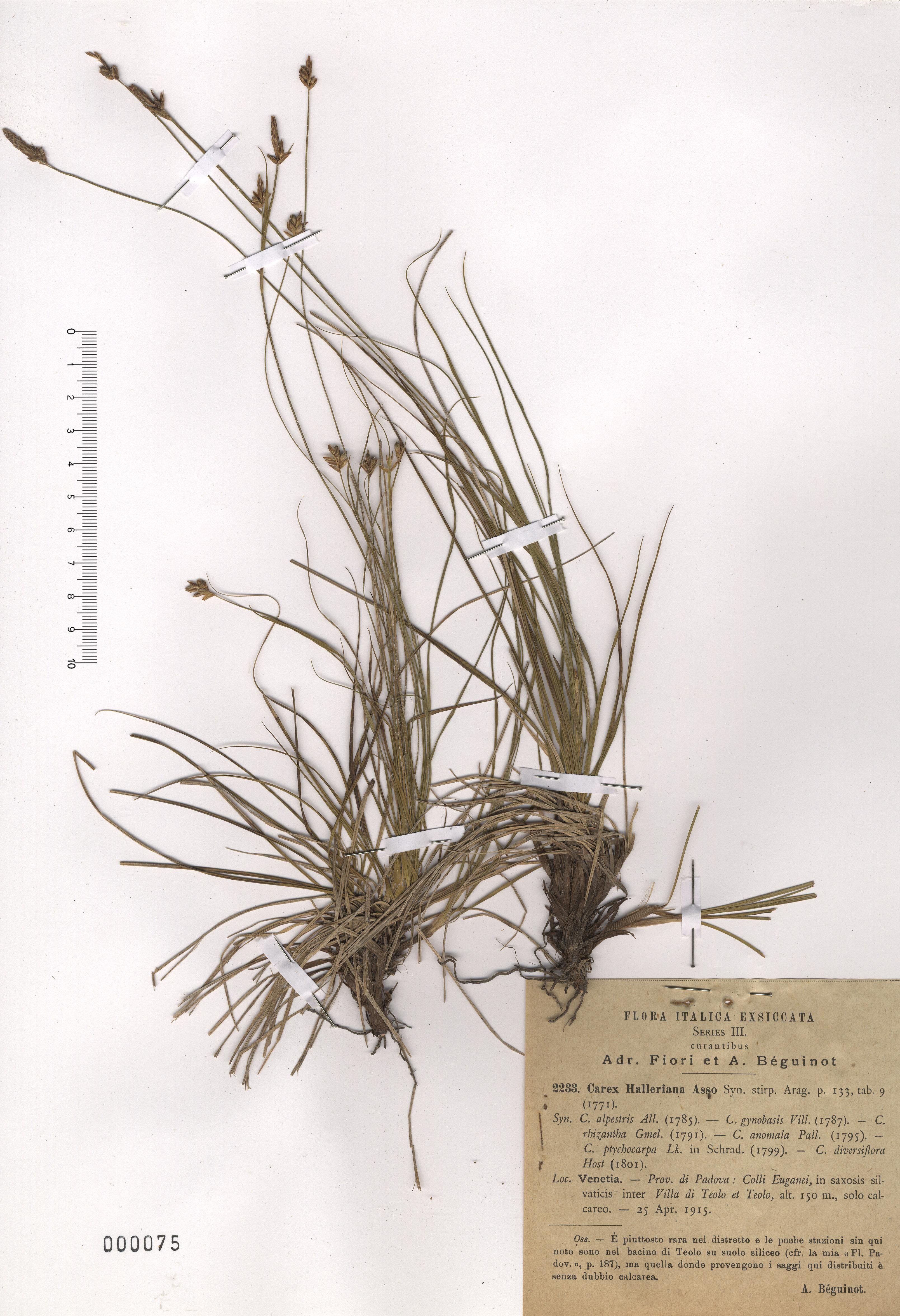 © Hortus Botanicus Catinensis - Herb. sheet 000075<br>
