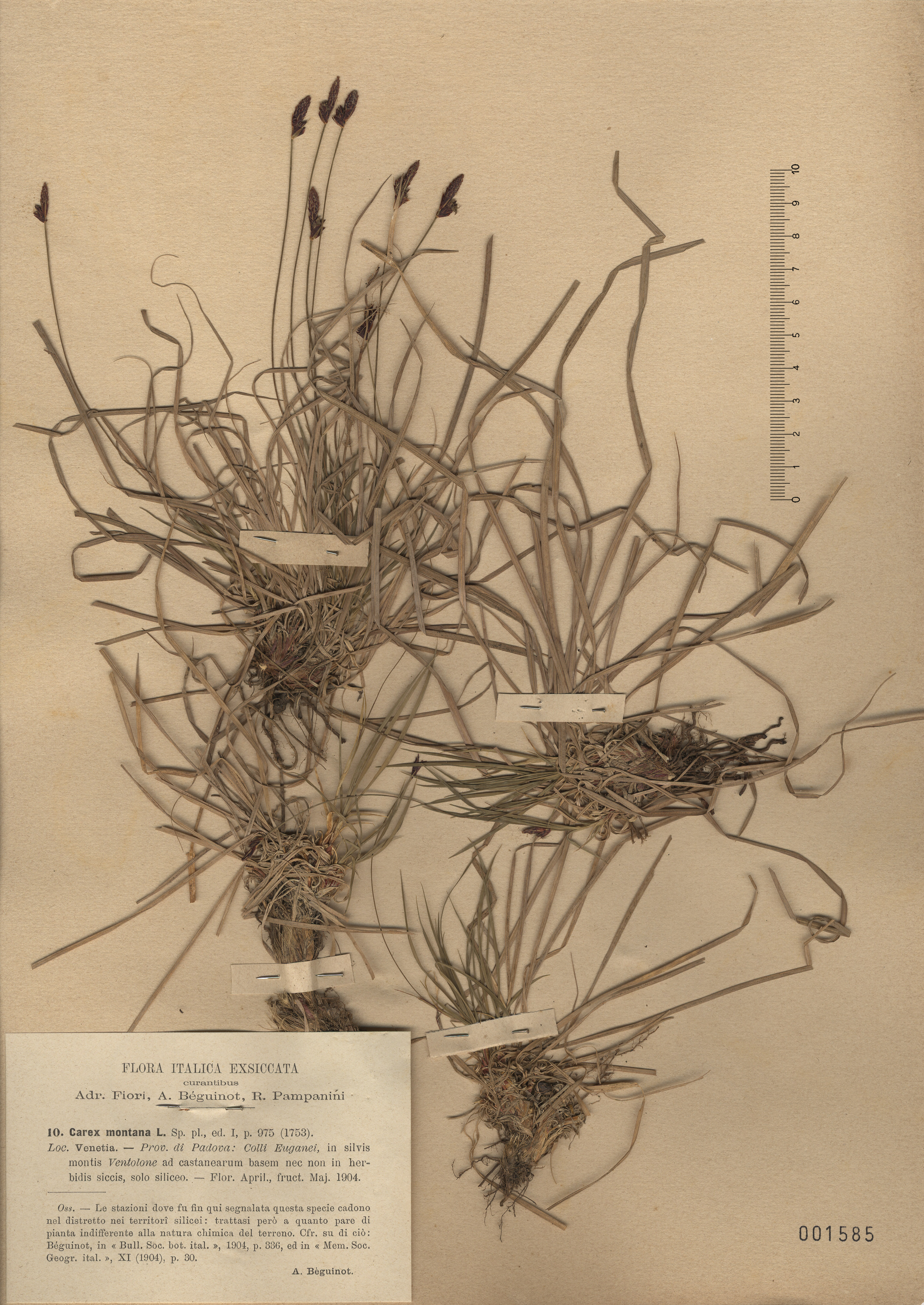 © Hortus Botanicus Catinensis - Herb. sheet 001585<br>