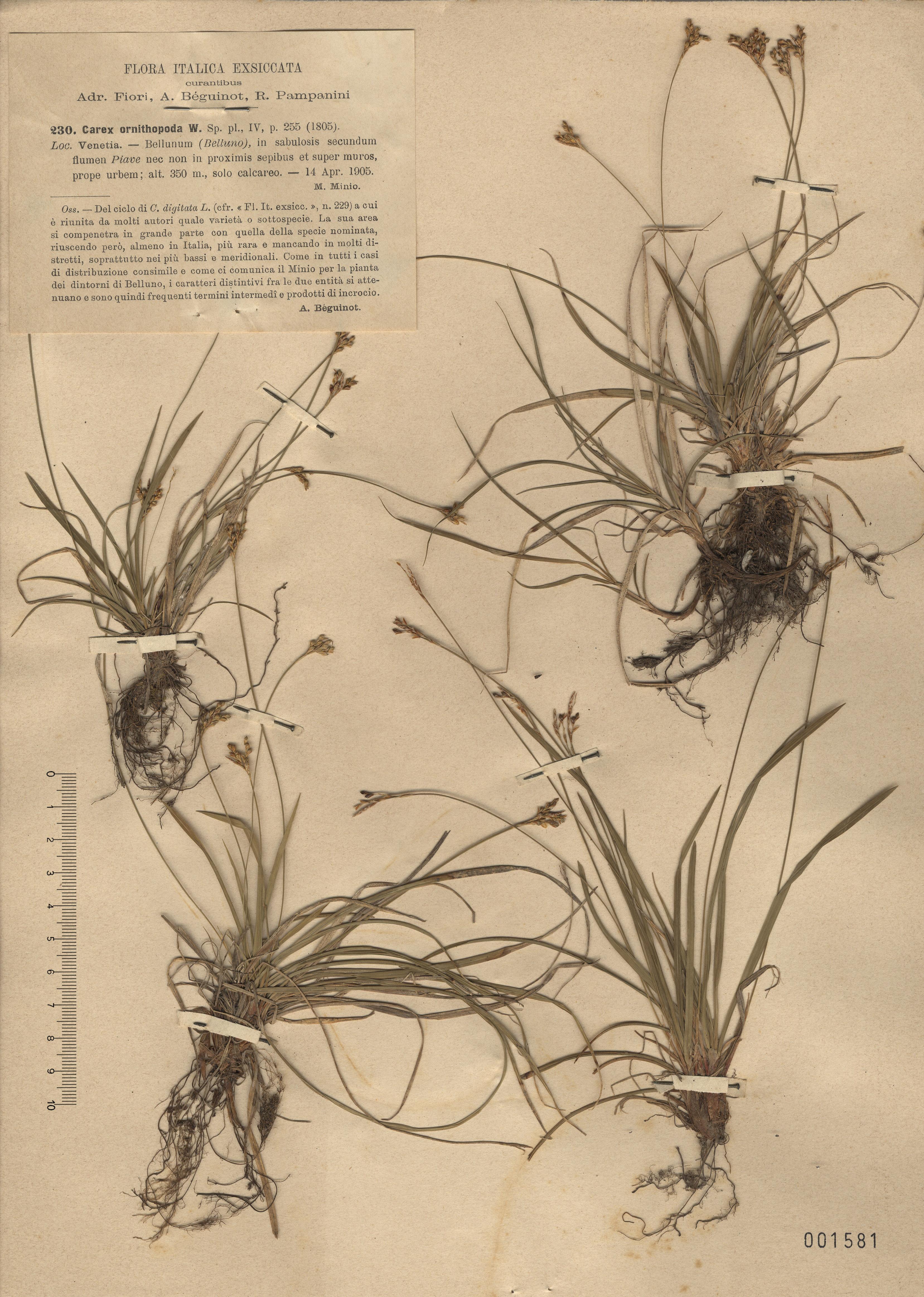 © Hortus Botanicus Catinensis - Herb. sheet 001581<br>