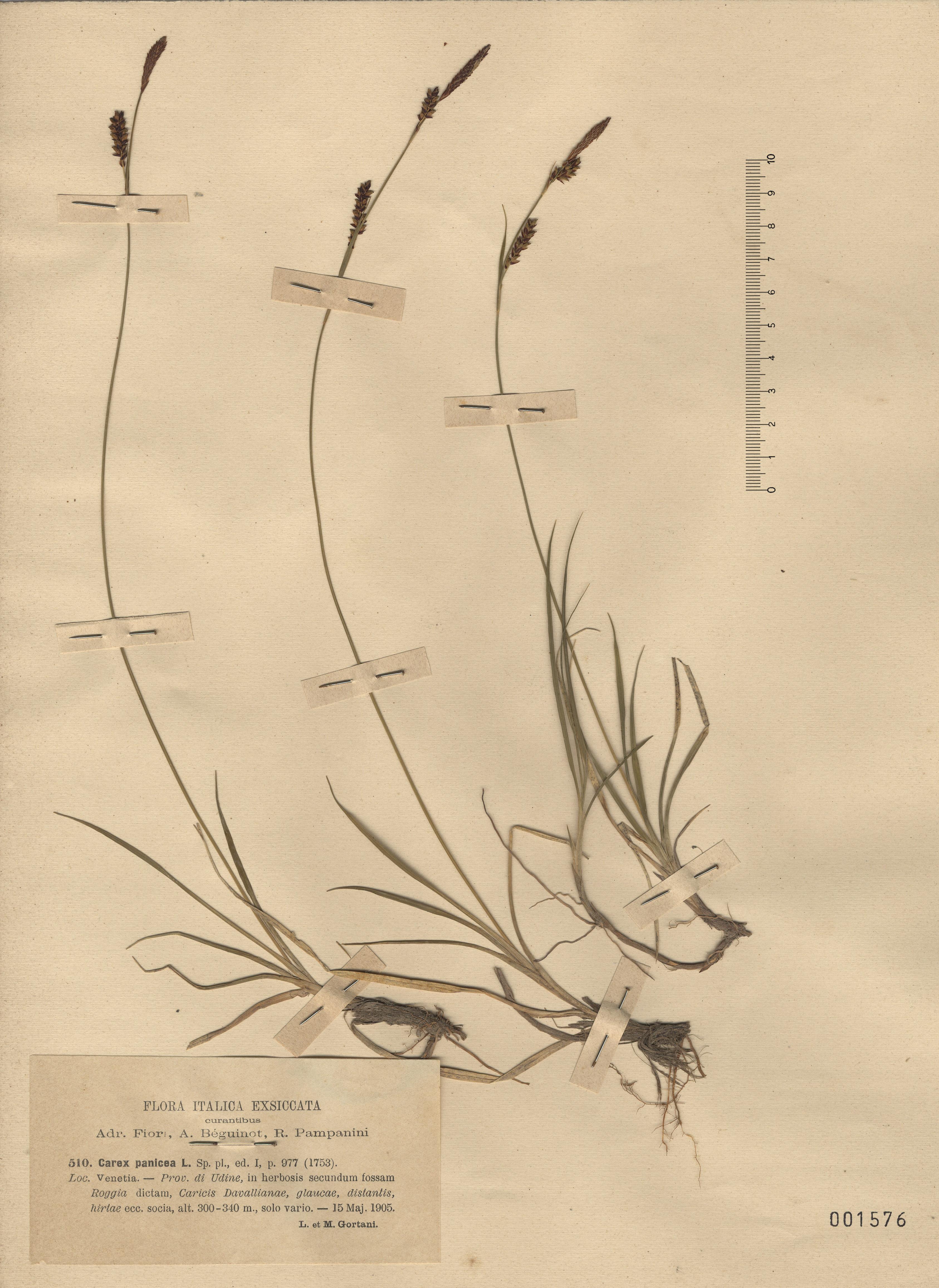 © Hortus Botanicus Catinensis - Herb. sheet 001576<br>