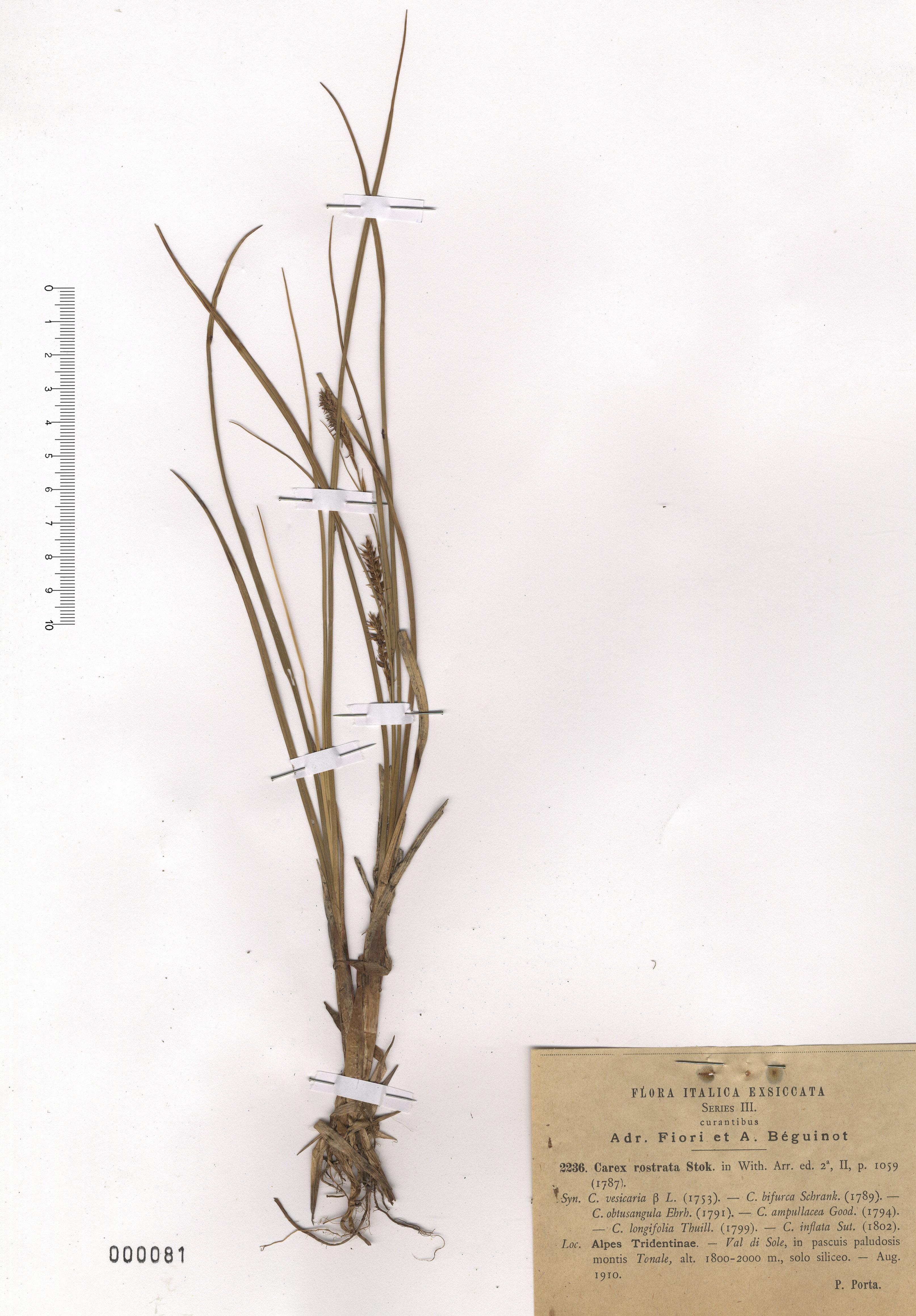 © Hortus Botanicus Catinensis - Herb. sheet 000081<br>