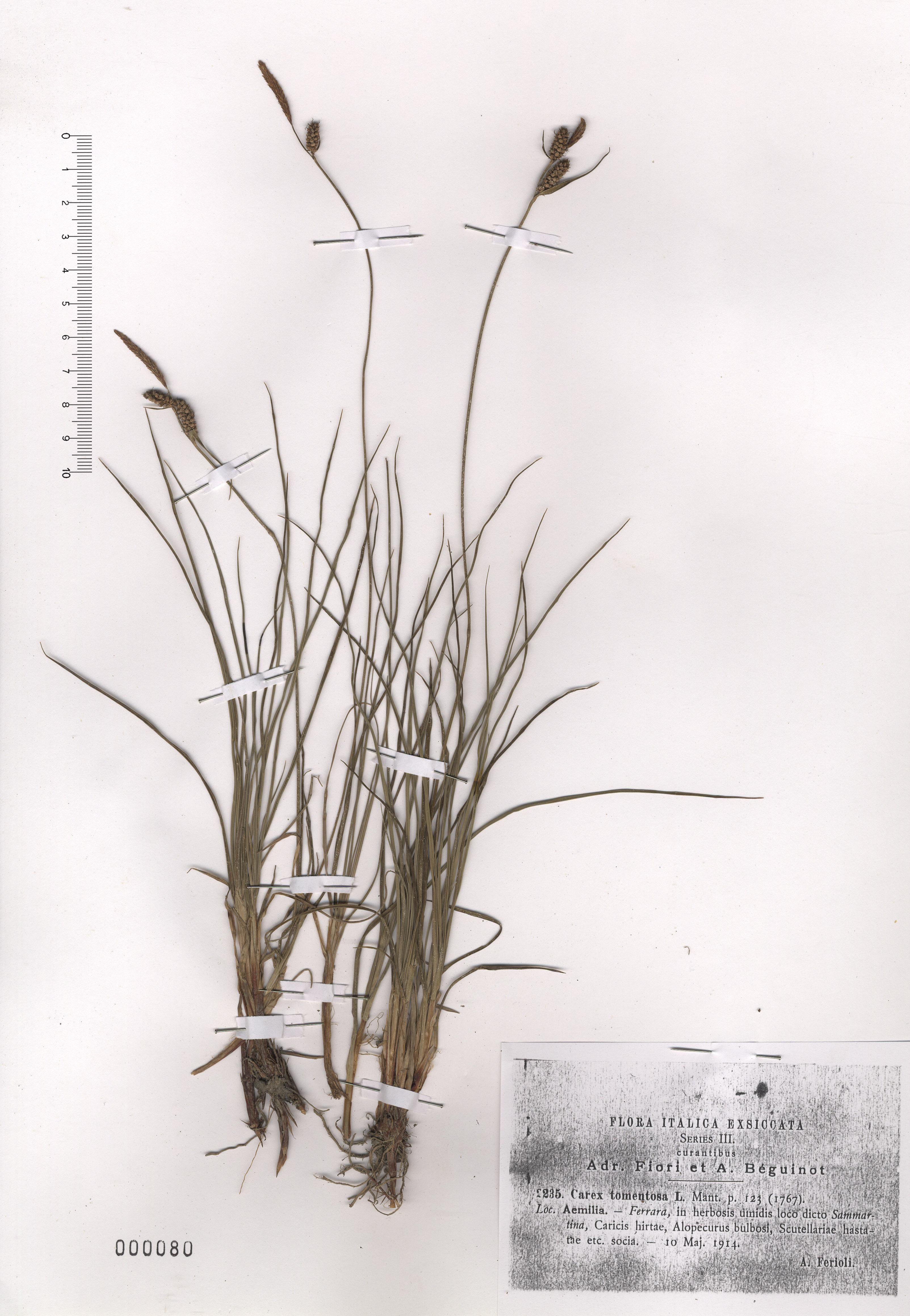 © Hortus Botanicus Catinensis - Herb. sheet 000080<br>
