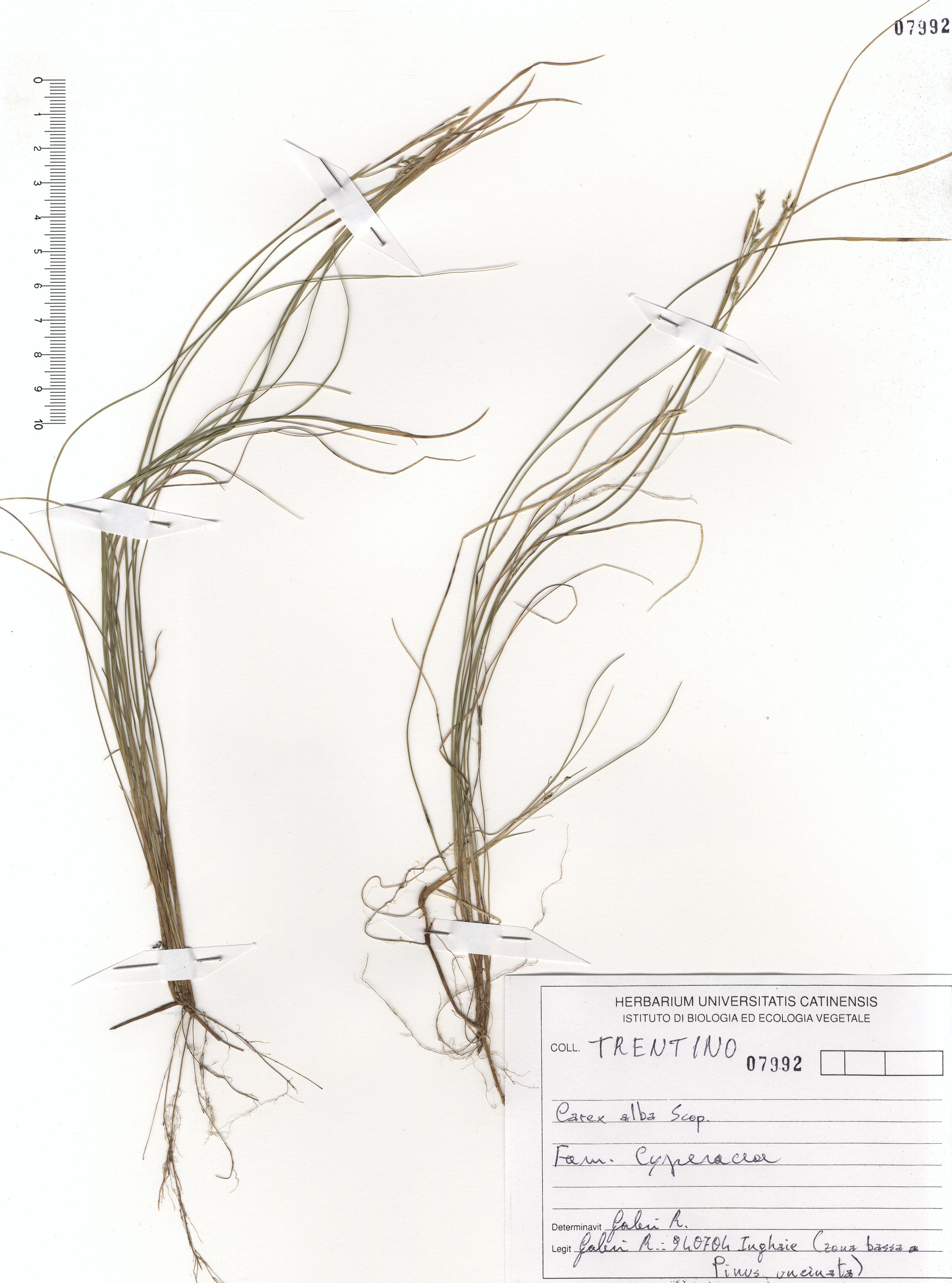 © Hortus Botanicus Catinensis - Herb. sheet 107992<br>