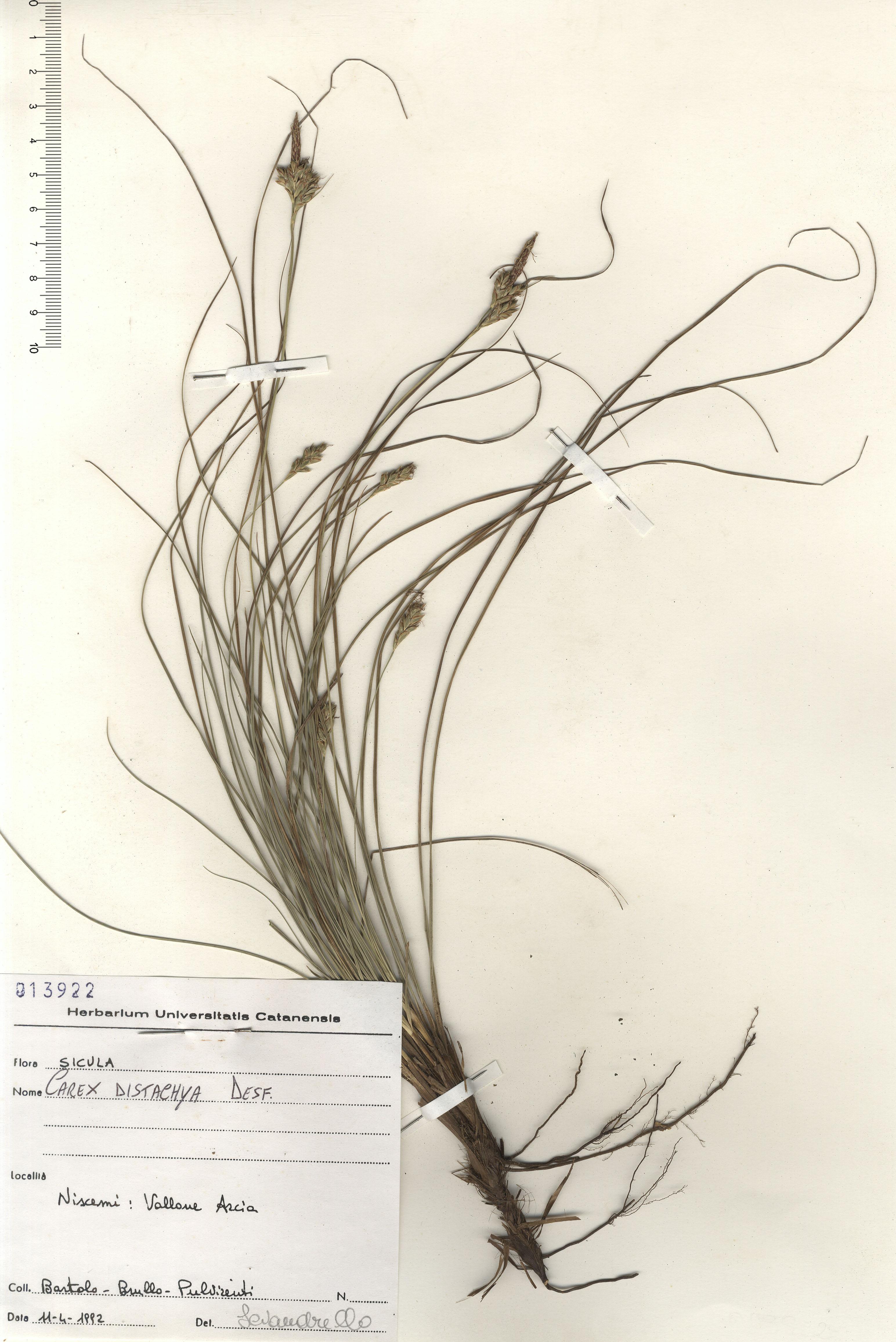 © Hortus Botanicus Catinensis - Herb. sheet 013922<br>
