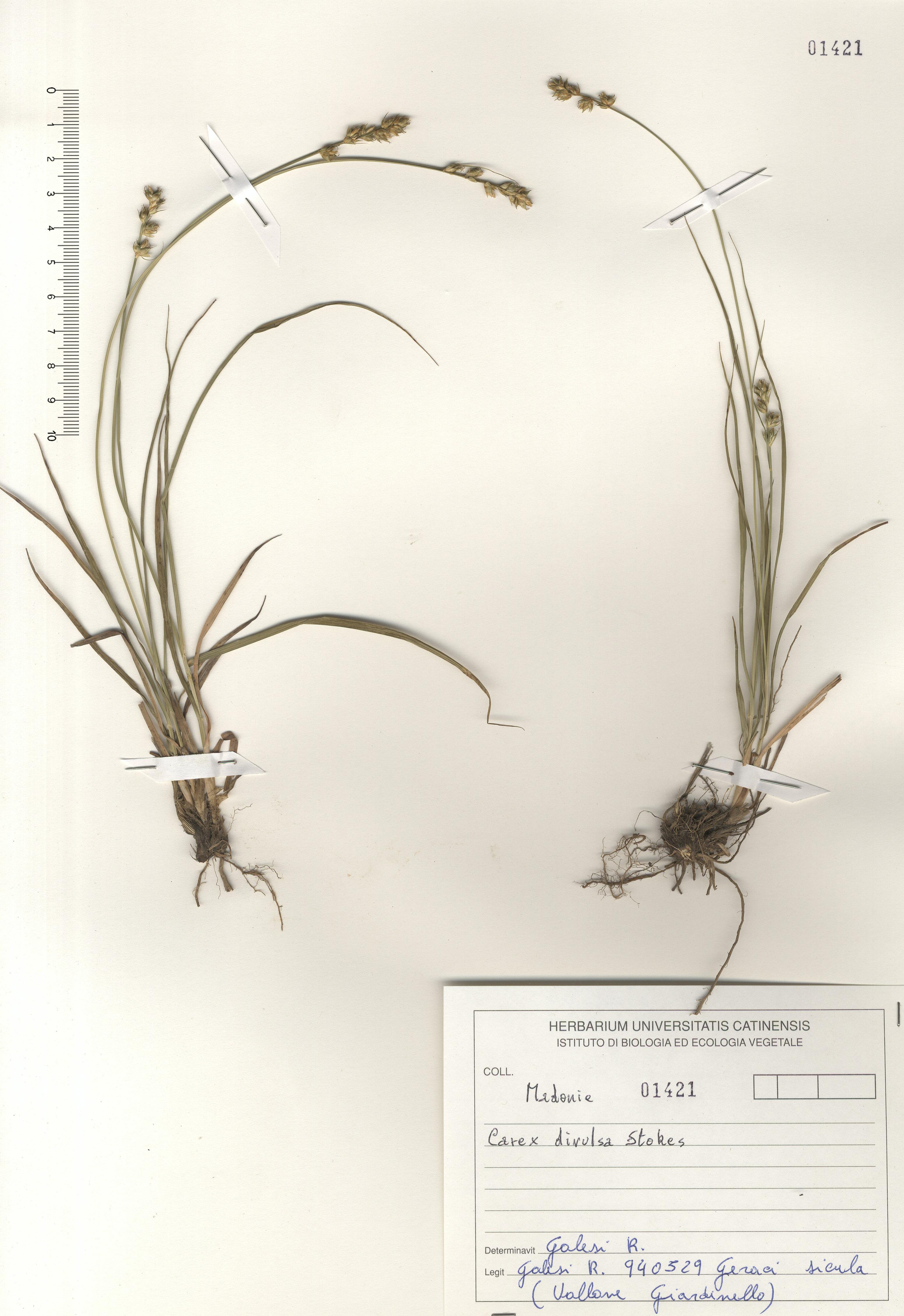 © Hortus Botanicus Catinensis - Herb. sheet 101421<br>