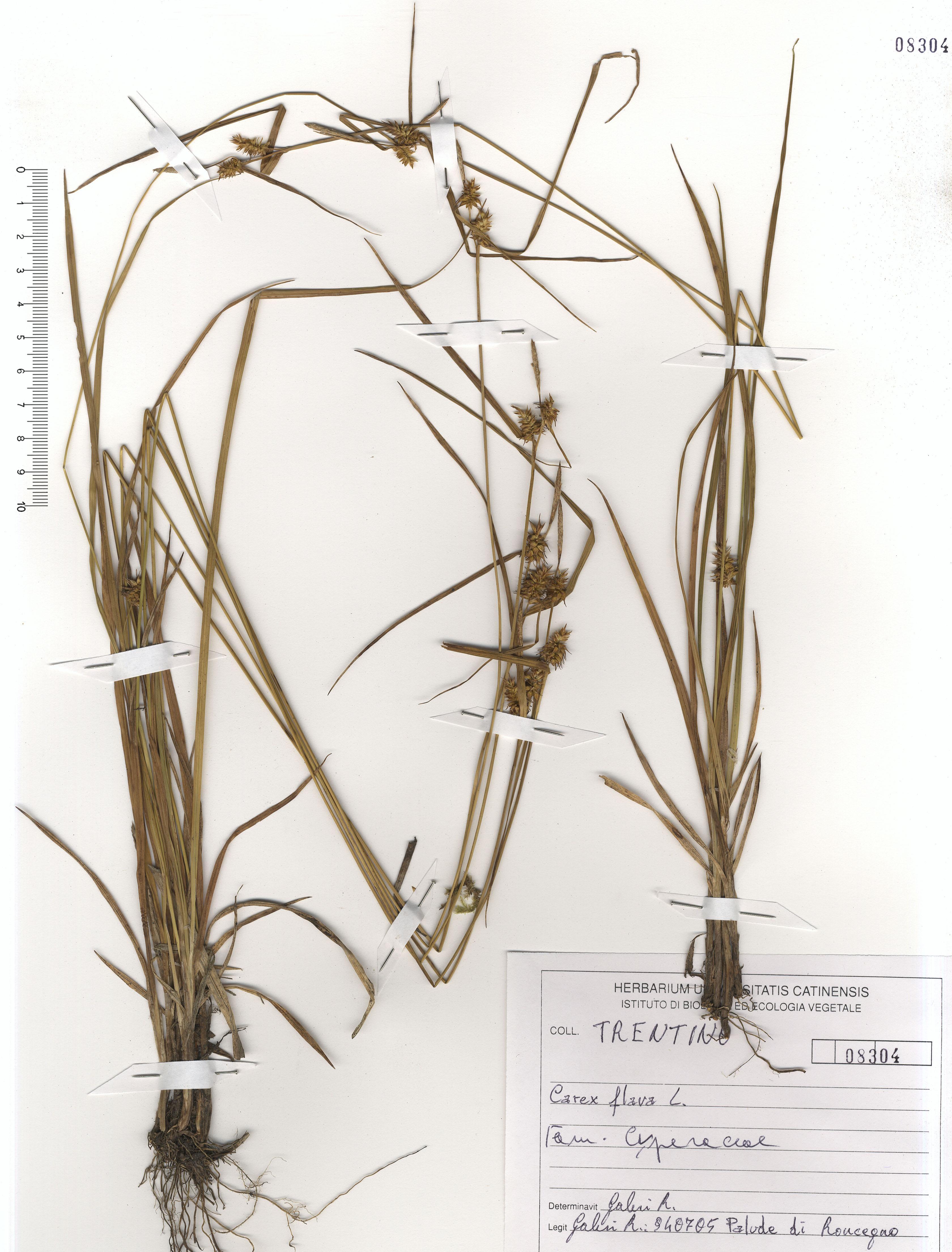 © Hortus Botanicus Catinensis - Herb. sheet 108304<br>