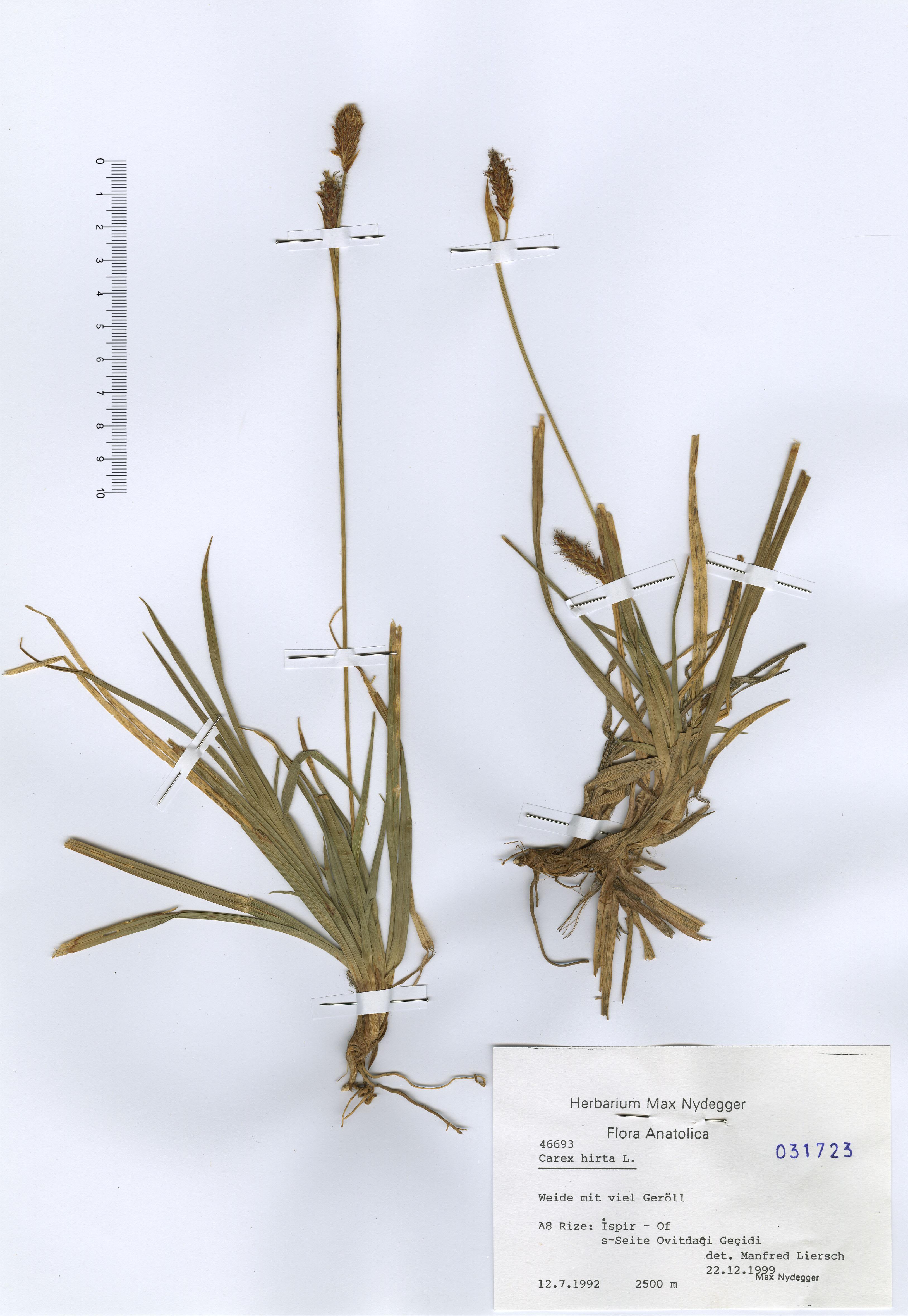 © Hortus Botanicus Catinensis - Herb. sheet 031723<br>