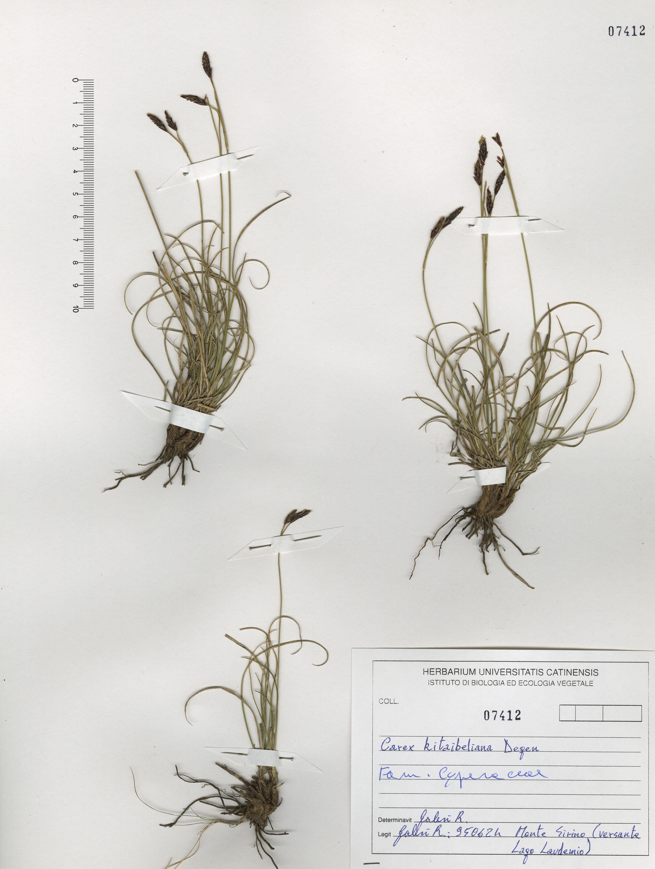 © Hortus Botanicus Catinensis - Herb. sheet 107412<br>