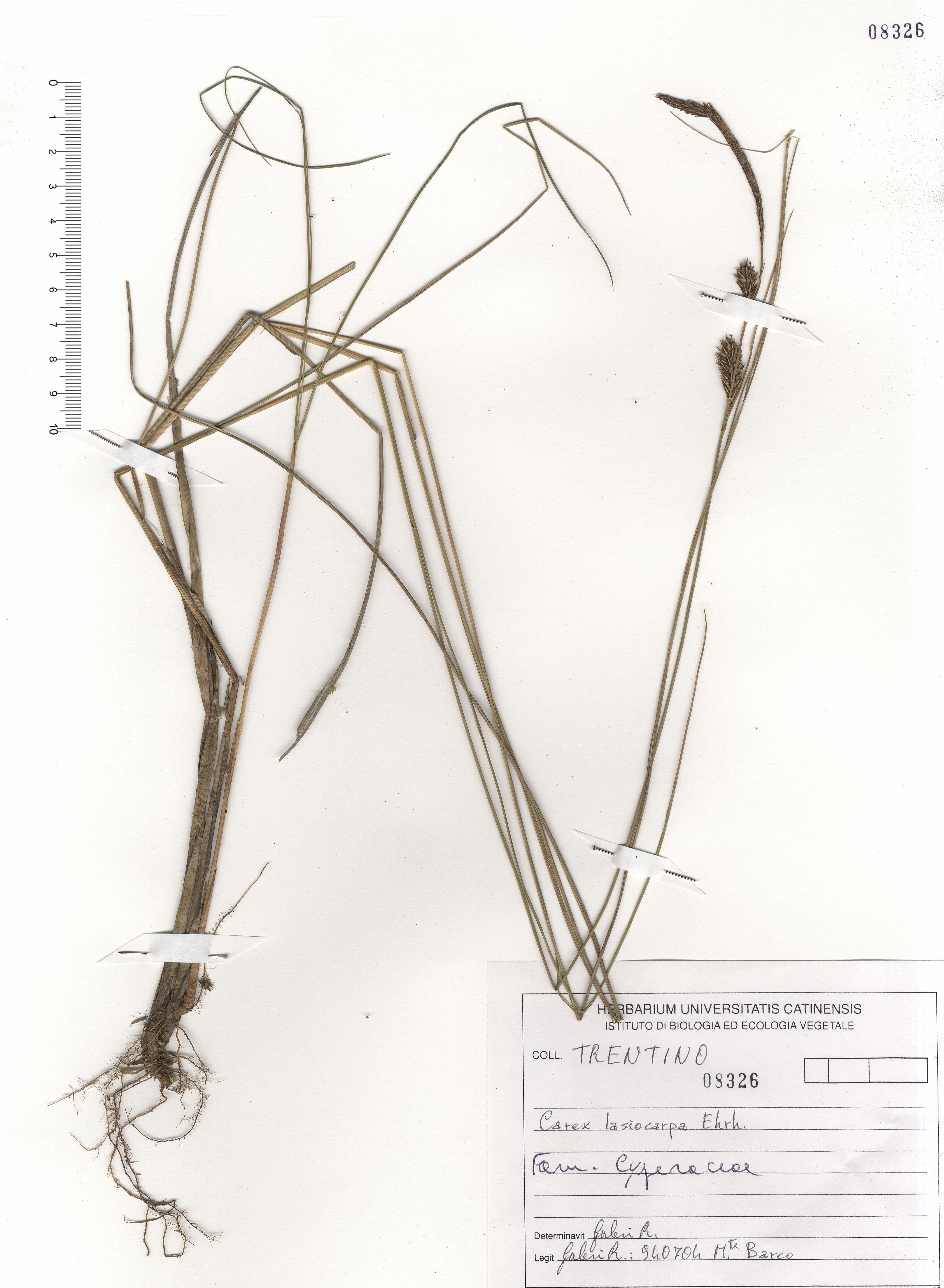 © Hortus Botanicus Catinensis - Herb. sheet 108326<br>