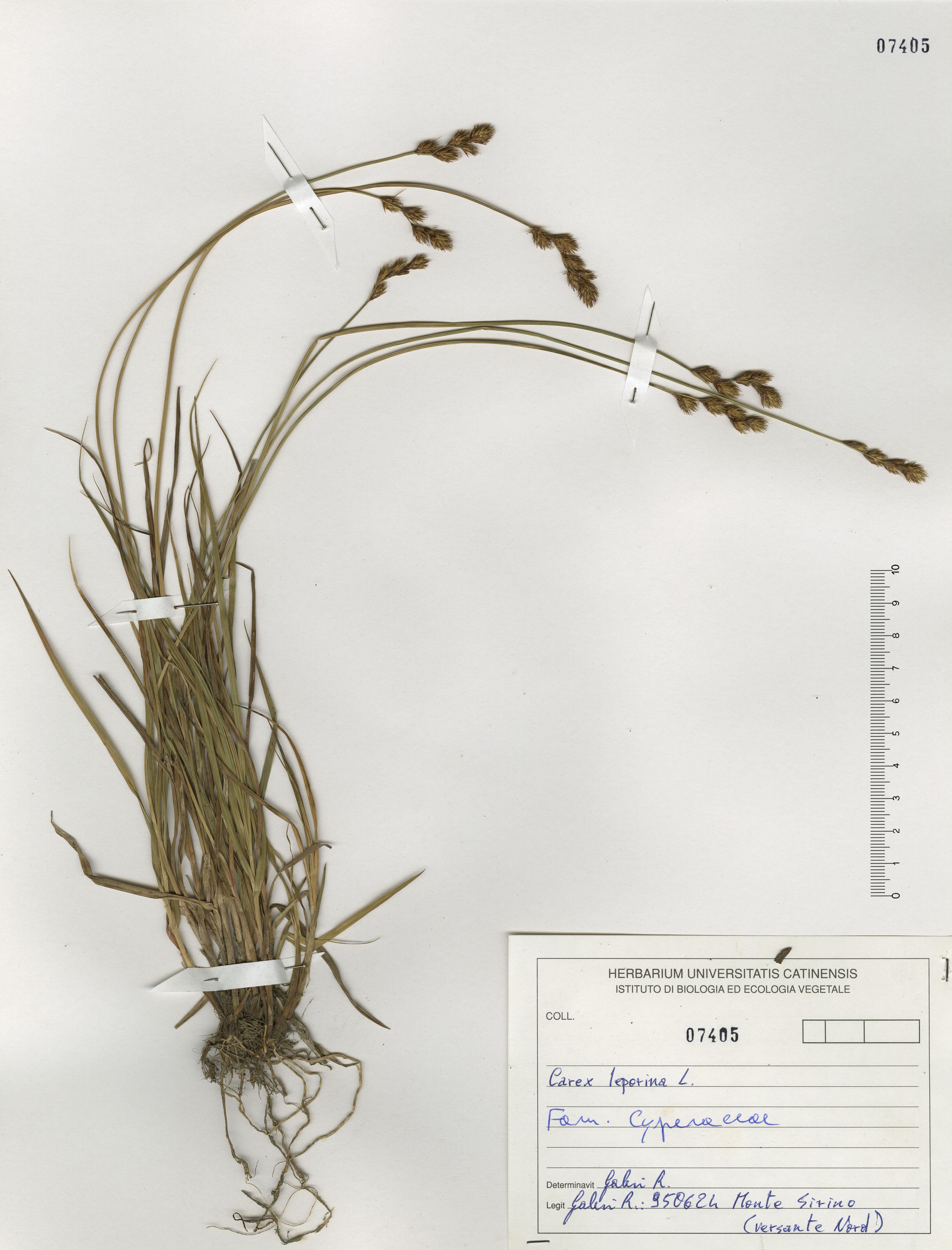 © Hortus Botanicus Catinensis - Herb. sheet 107405<br>