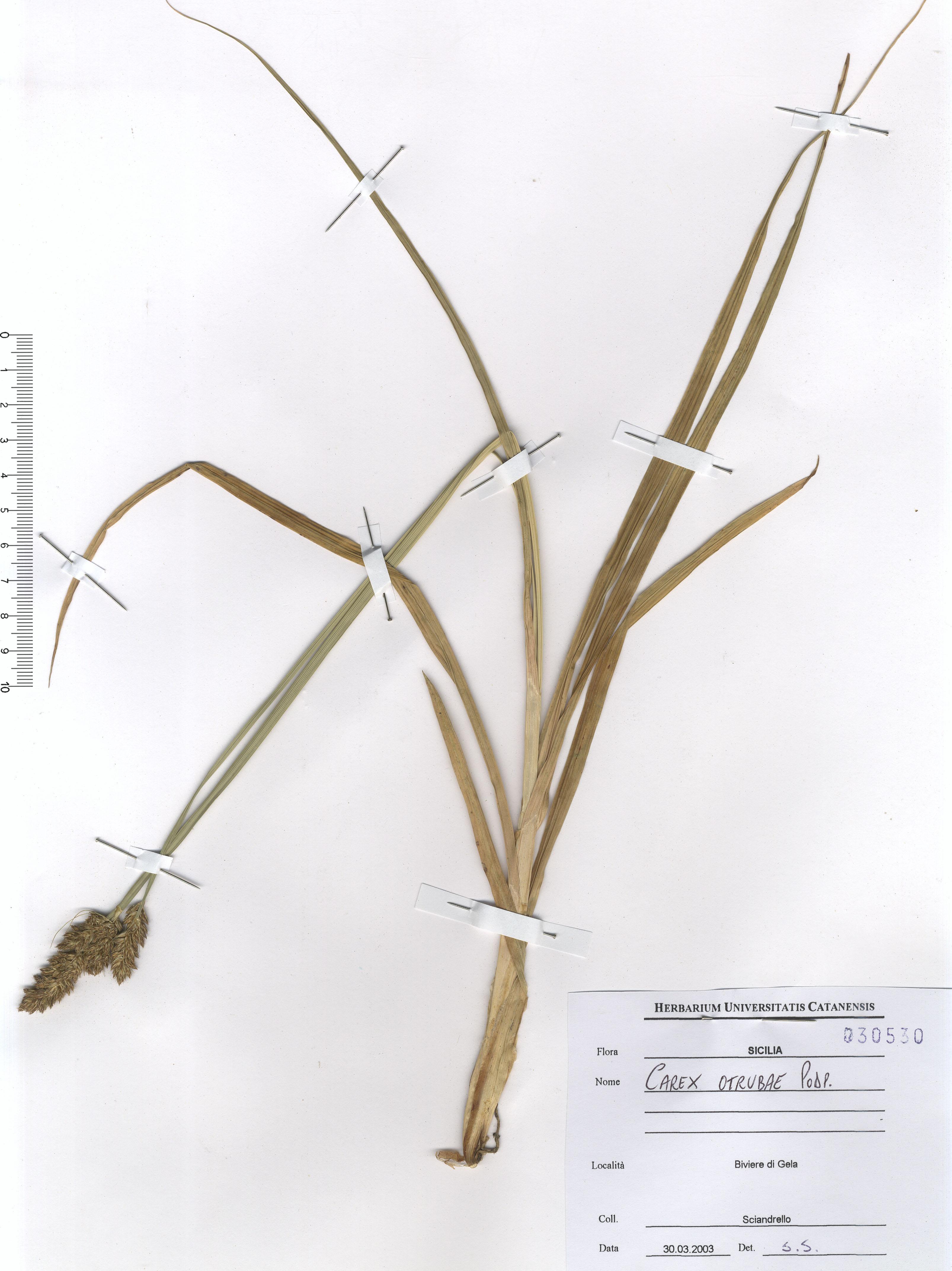 © Hortus Botanicus Catinensis - Herb. sheet 030530<br>