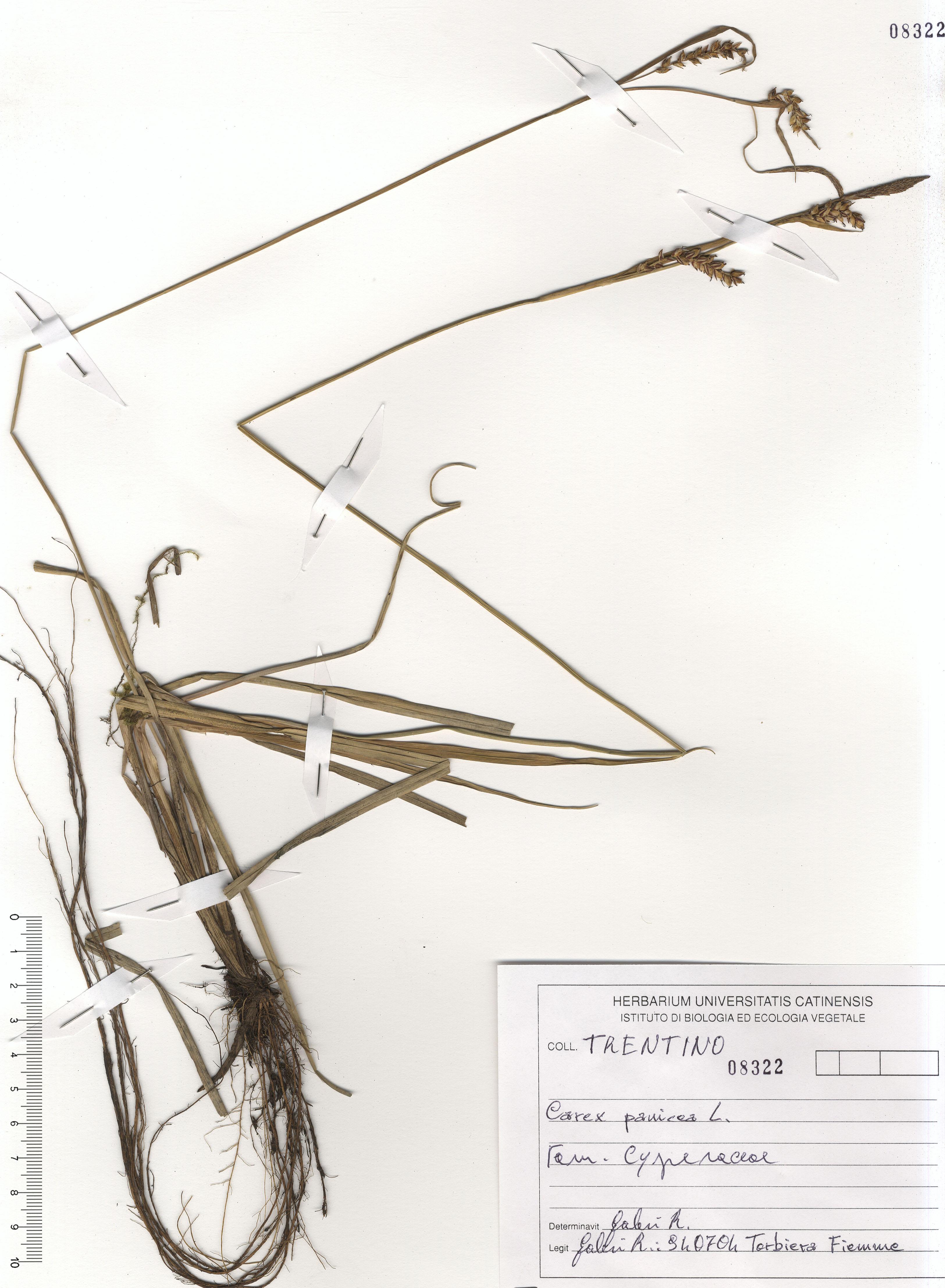 © Hortus Botanicus Catinensis - Herb. sheet 101457<br>
