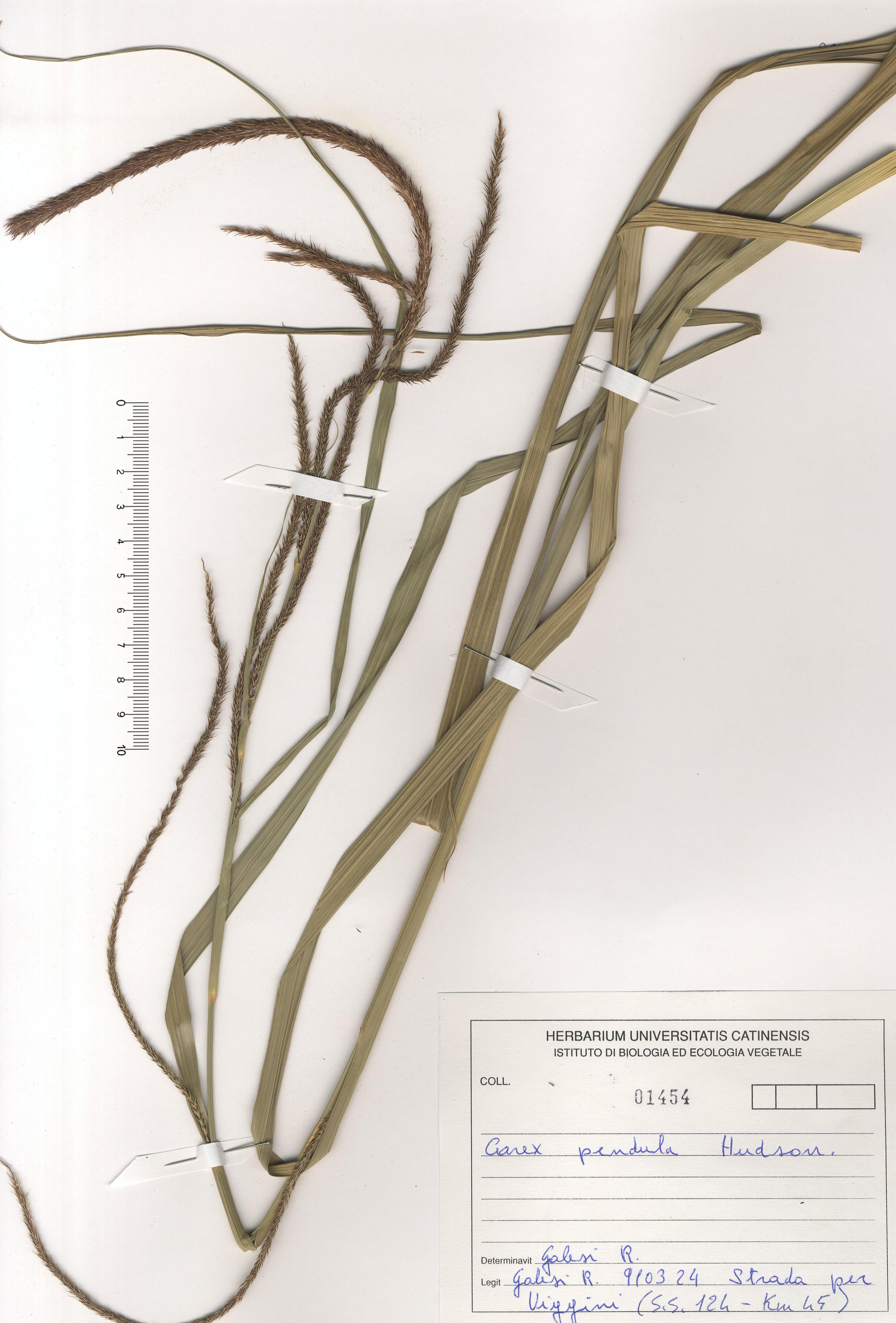 © Hortus Botanicus Catinensis - Herb. sheet 101454<br>