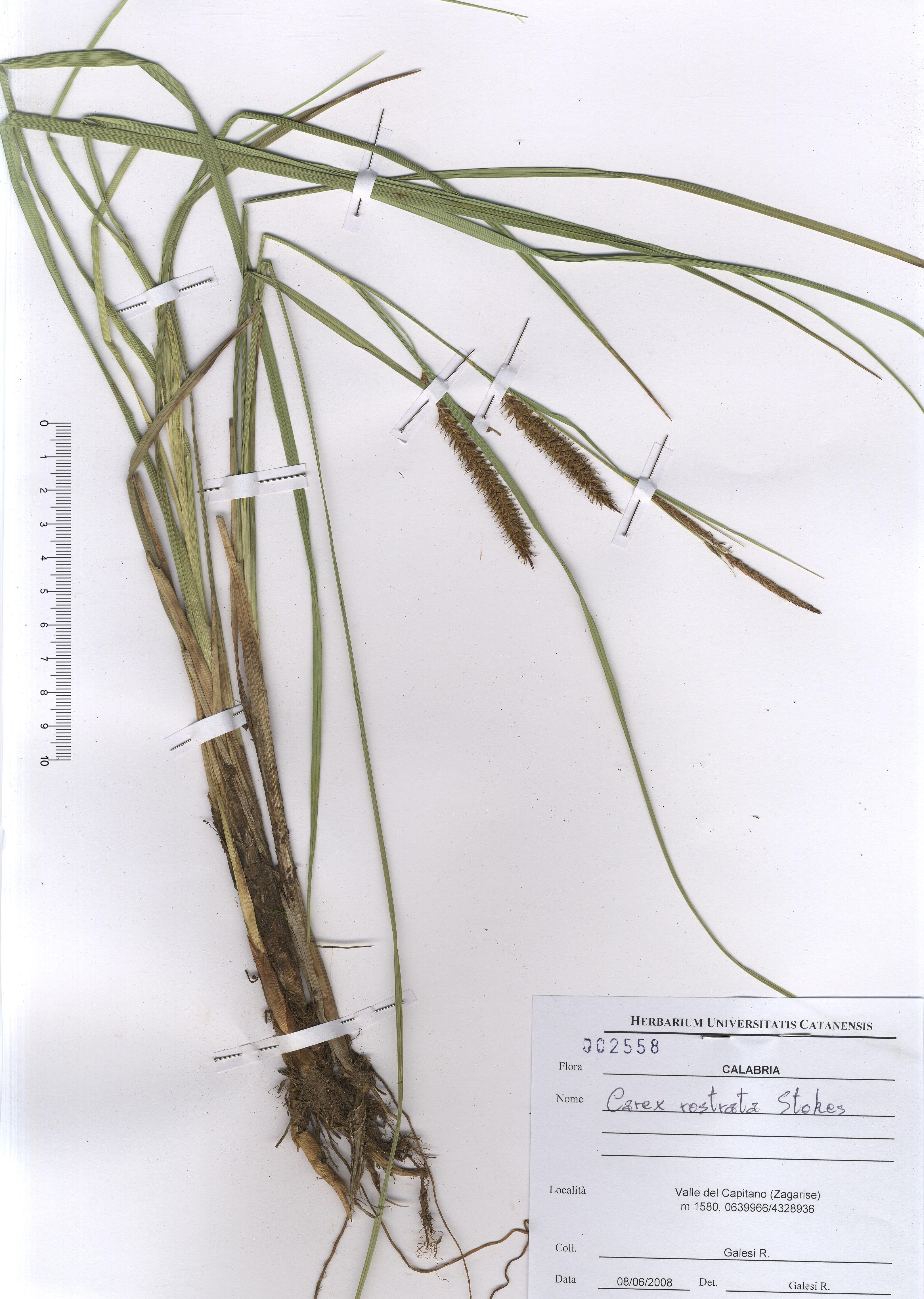 © Hortus Botanicus Catinensis - Herb. sheet 002558<br>