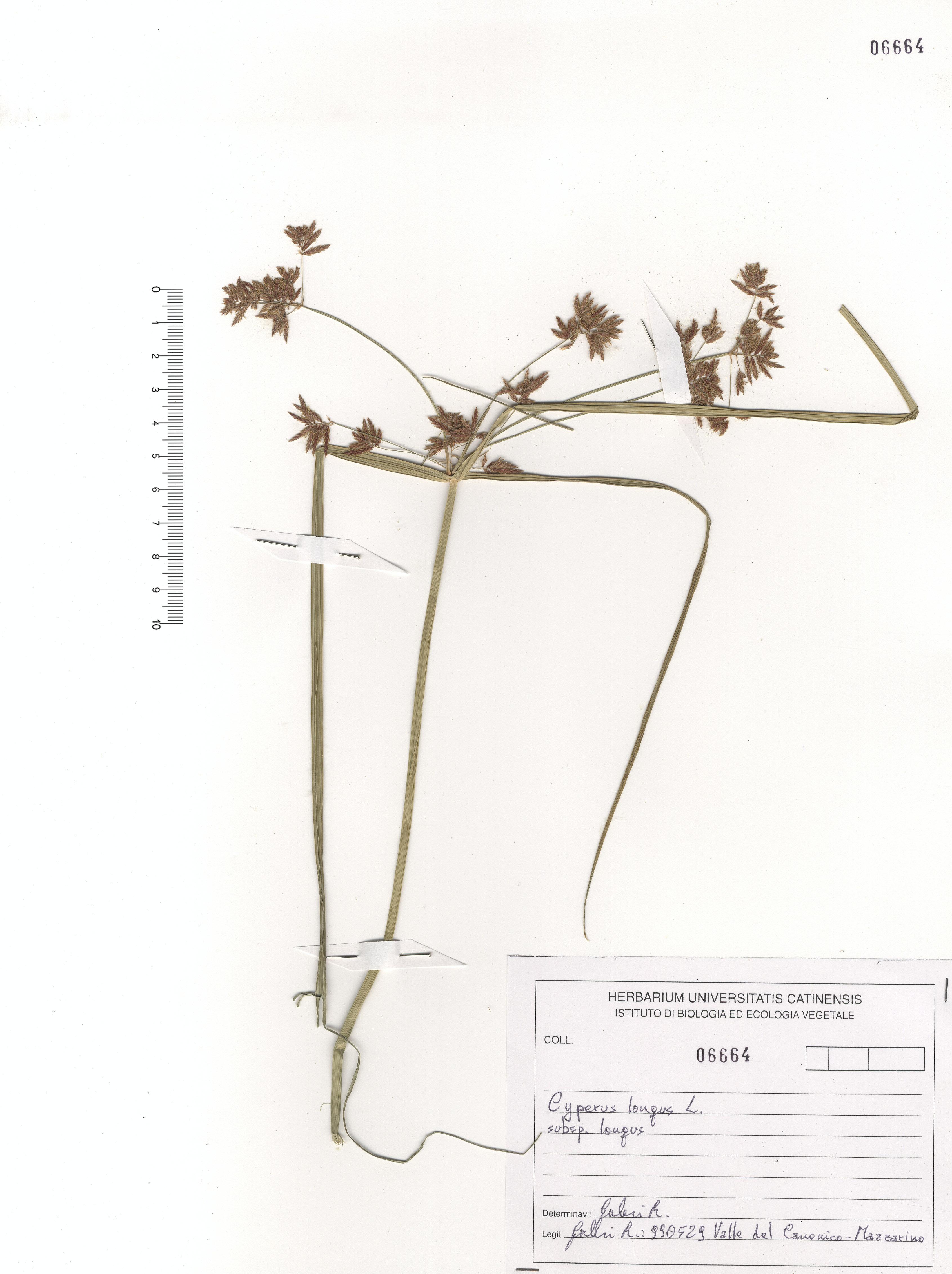 © Hortus Botanicus Catinensis - Herb. sheet 106664<br>