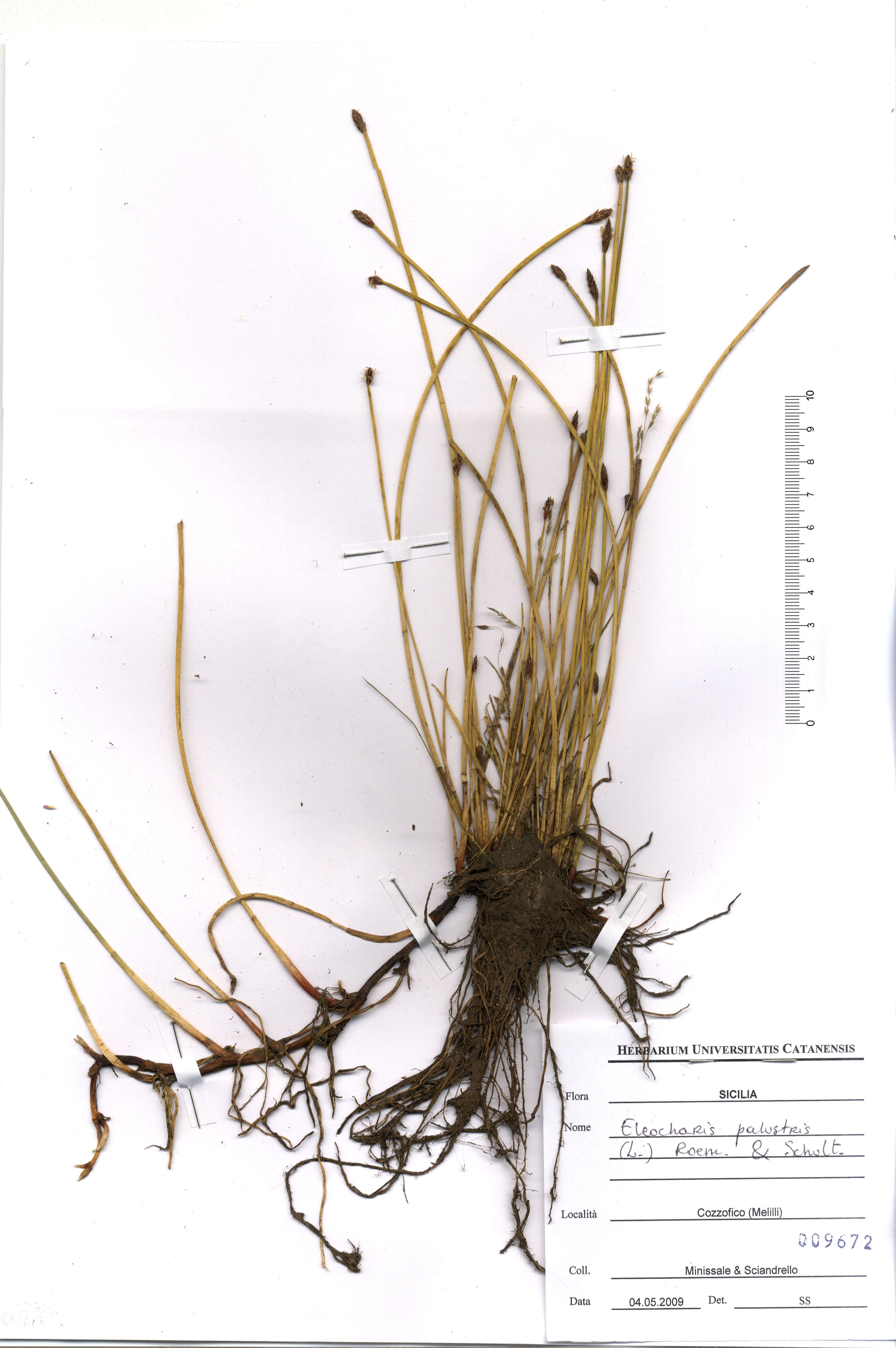 &copy; Hortus Botanicus Catinensis - Herb. sheet 009672<br>