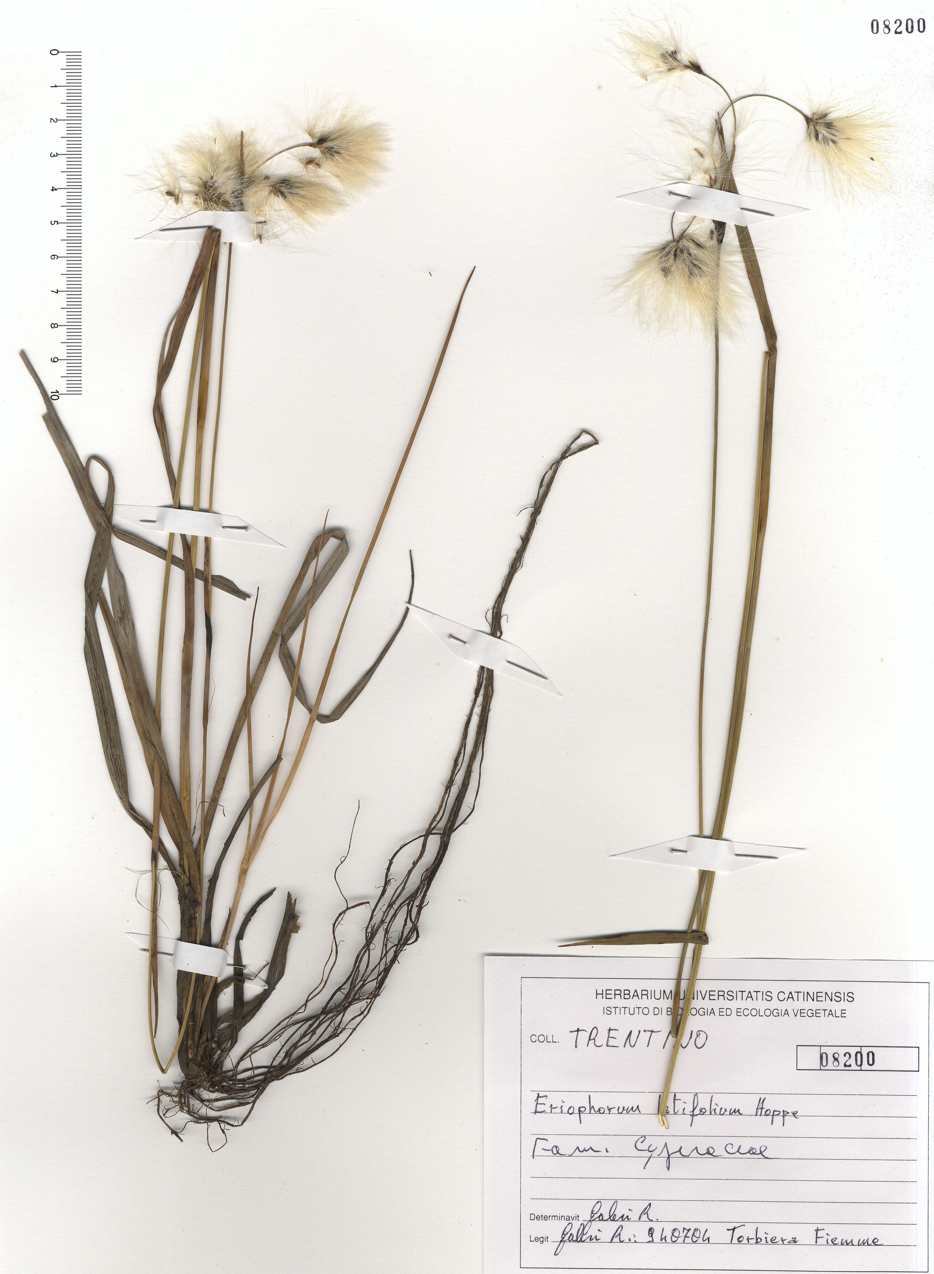 © Hortus Botanicus Catinensis - Herb. sheet 108200<br>