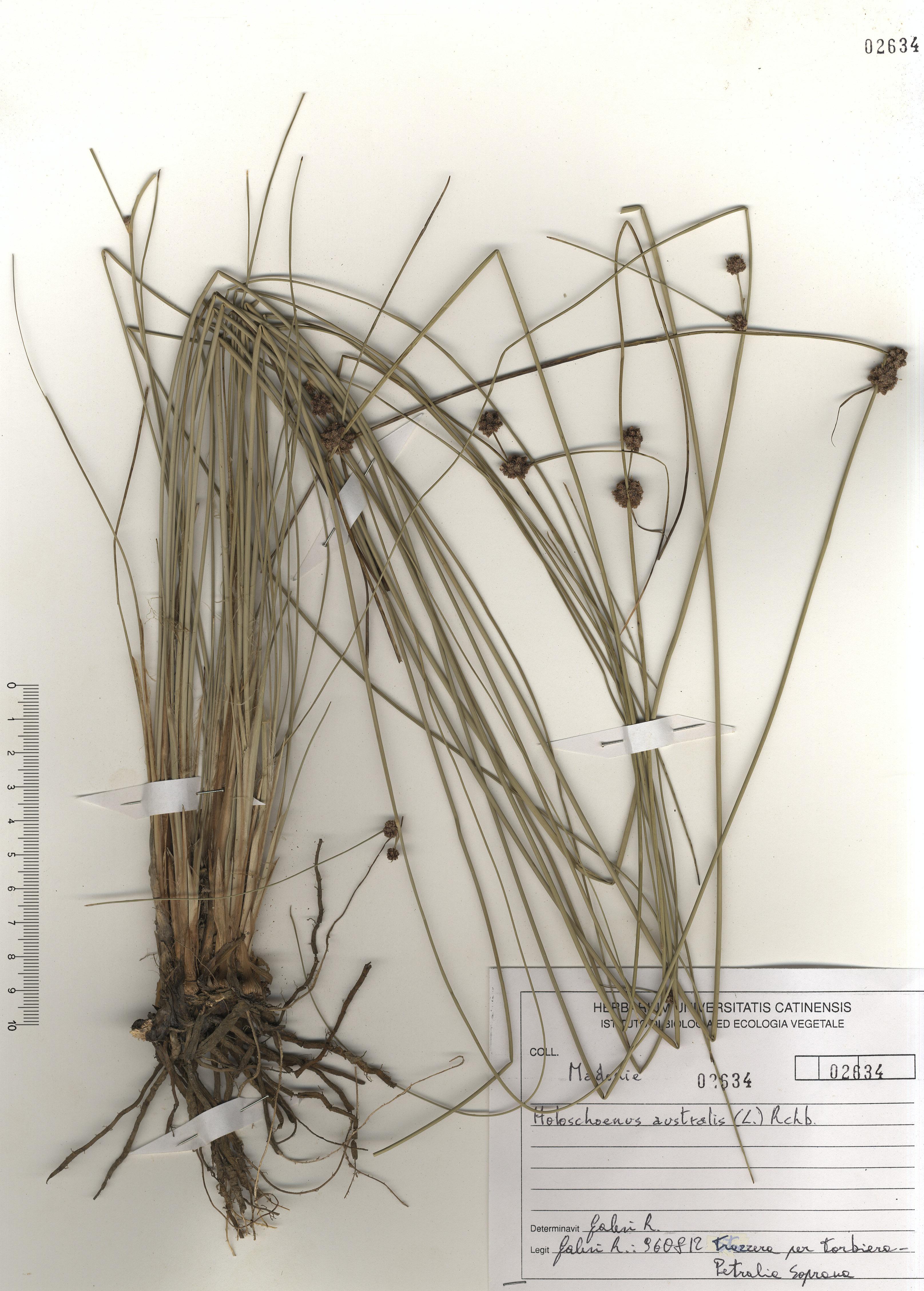 © Hortus Botanicus Catinensis - Herb. sheet 102634<br>