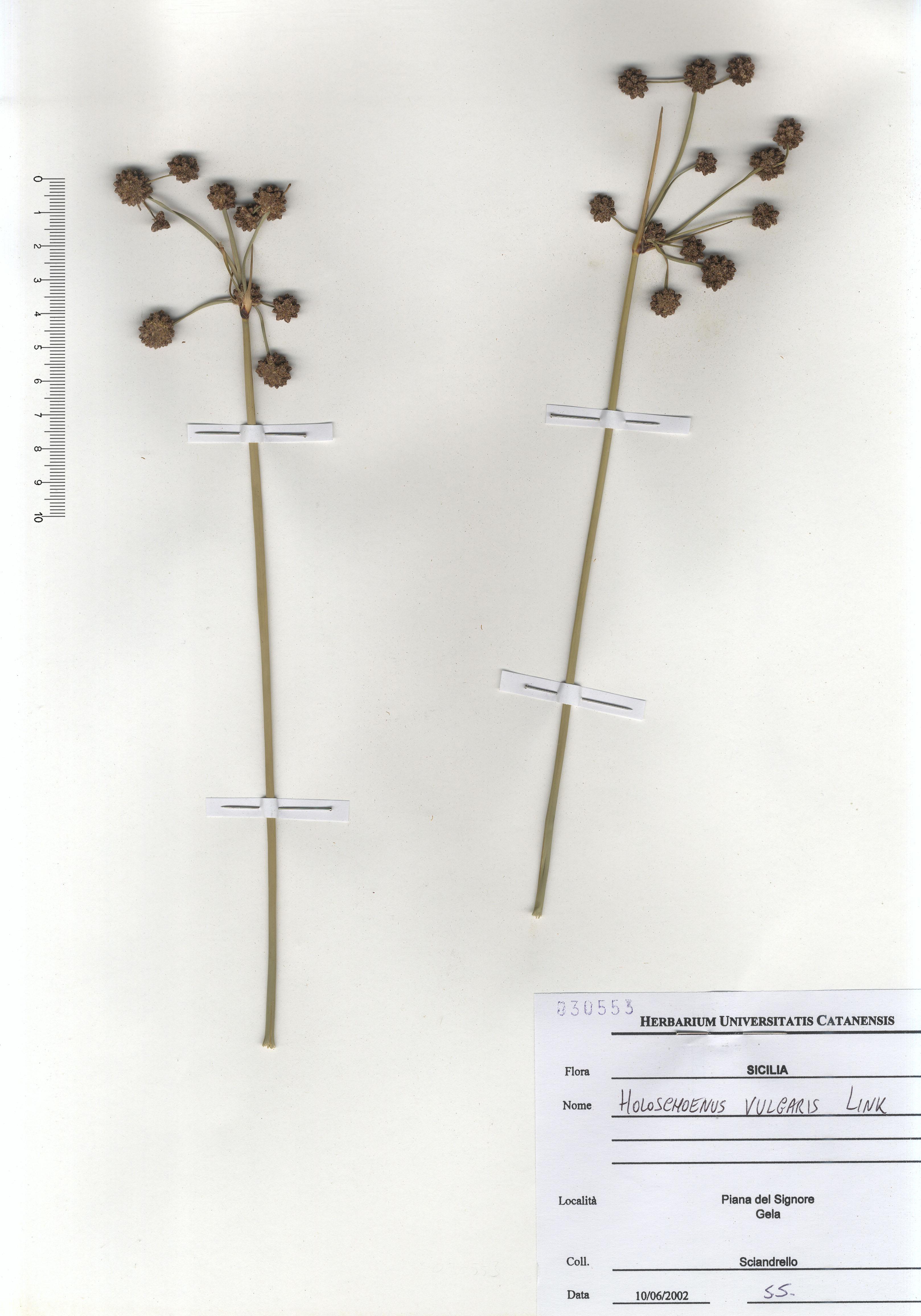 © Hortus Botanicus Catinensis - Herb. sheet 030553<br>