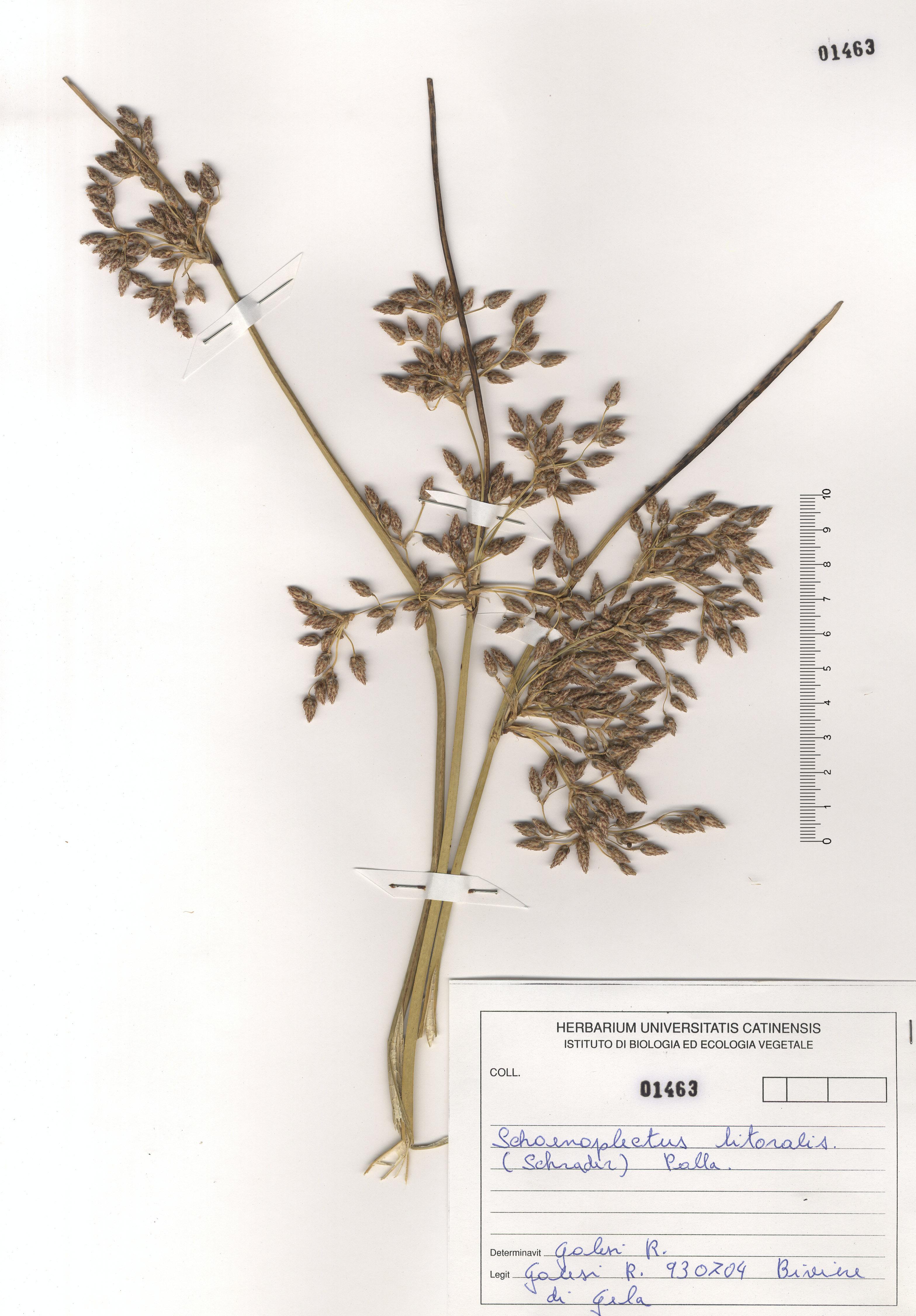 © Hortus Botanicus Catinensis - Herb. sheet 101463<br>