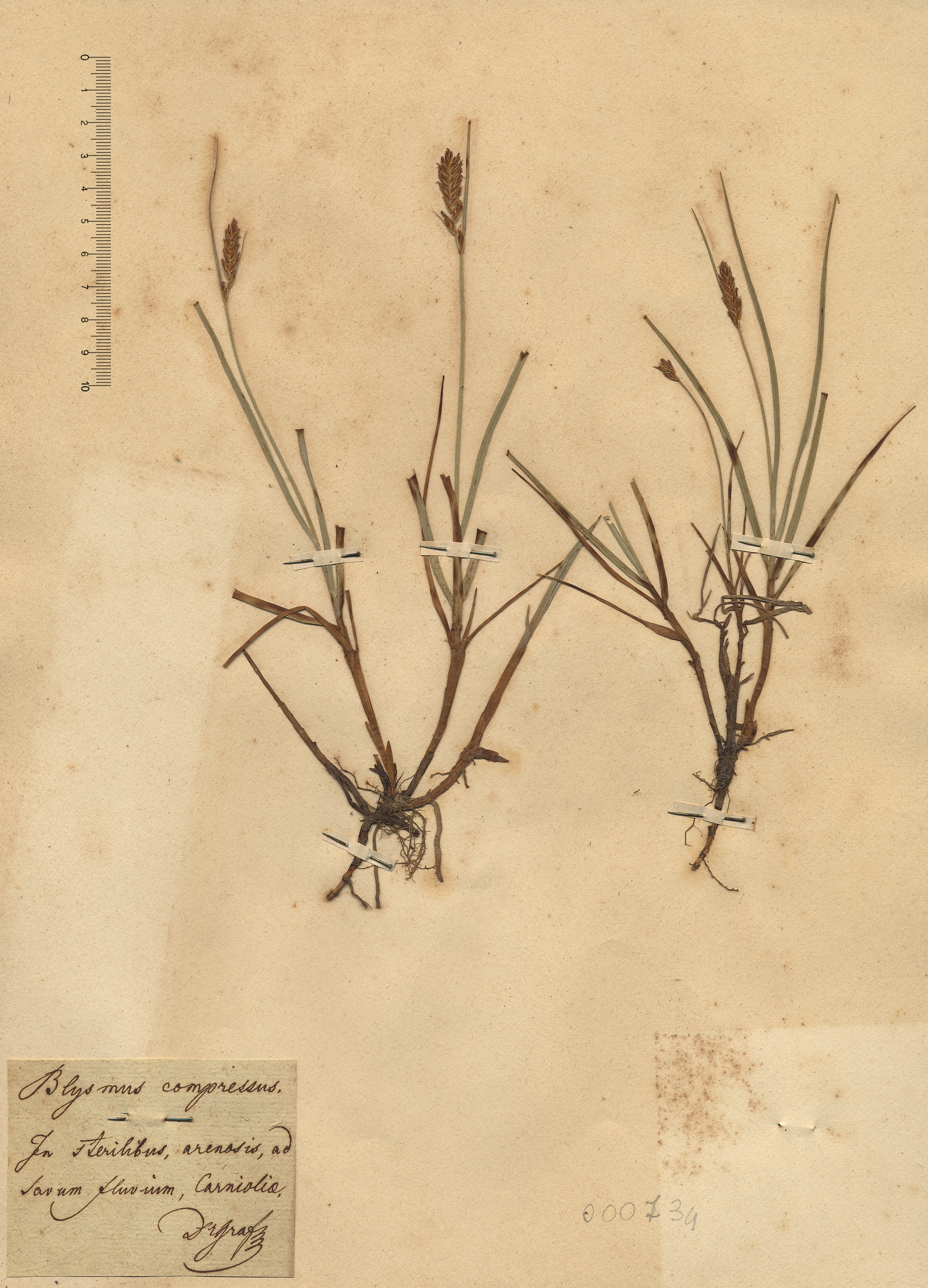 © Hortus Botanicus Catinensis - Herb. sheet 000734<br>