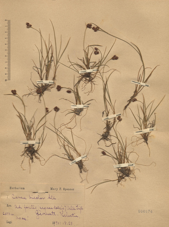 © Hortus Botanicus Catinensis - Herb. sheet 000876<br>
