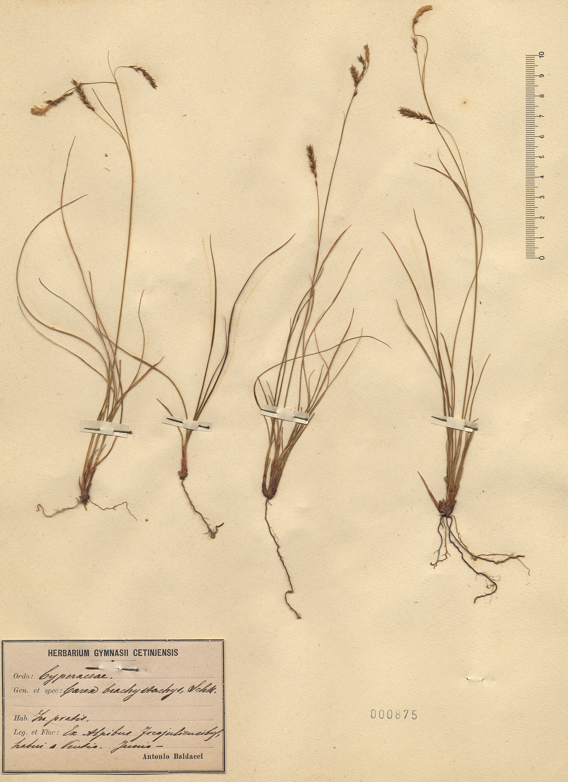 © Hortus Botanicus Catinensis - Herb. sheet 000175<br>