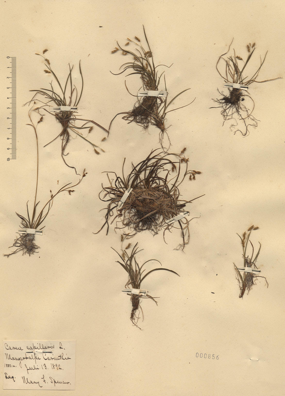 © Hortus Botanicus Catinensis - Herb. sheet 000856<br>