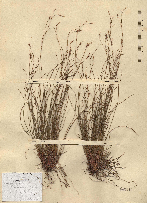 © Hortus Botanicus Catinensis - Herb. sheet 000832<br>