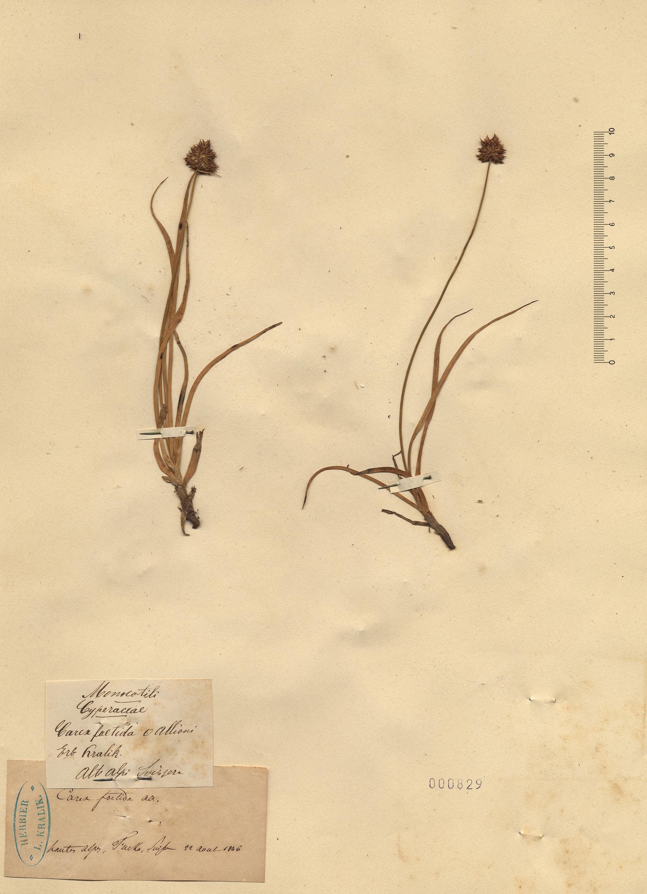 © Hortus Botanicus Catinensis - Herb. sheet 000829<br>