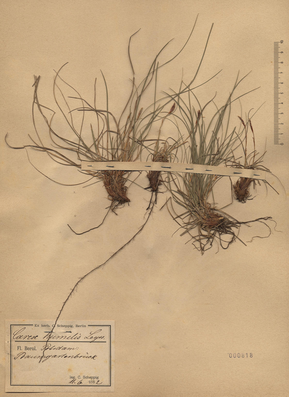 © Hortus Botanicus Catinensis - Herb. sheet 000818<br>