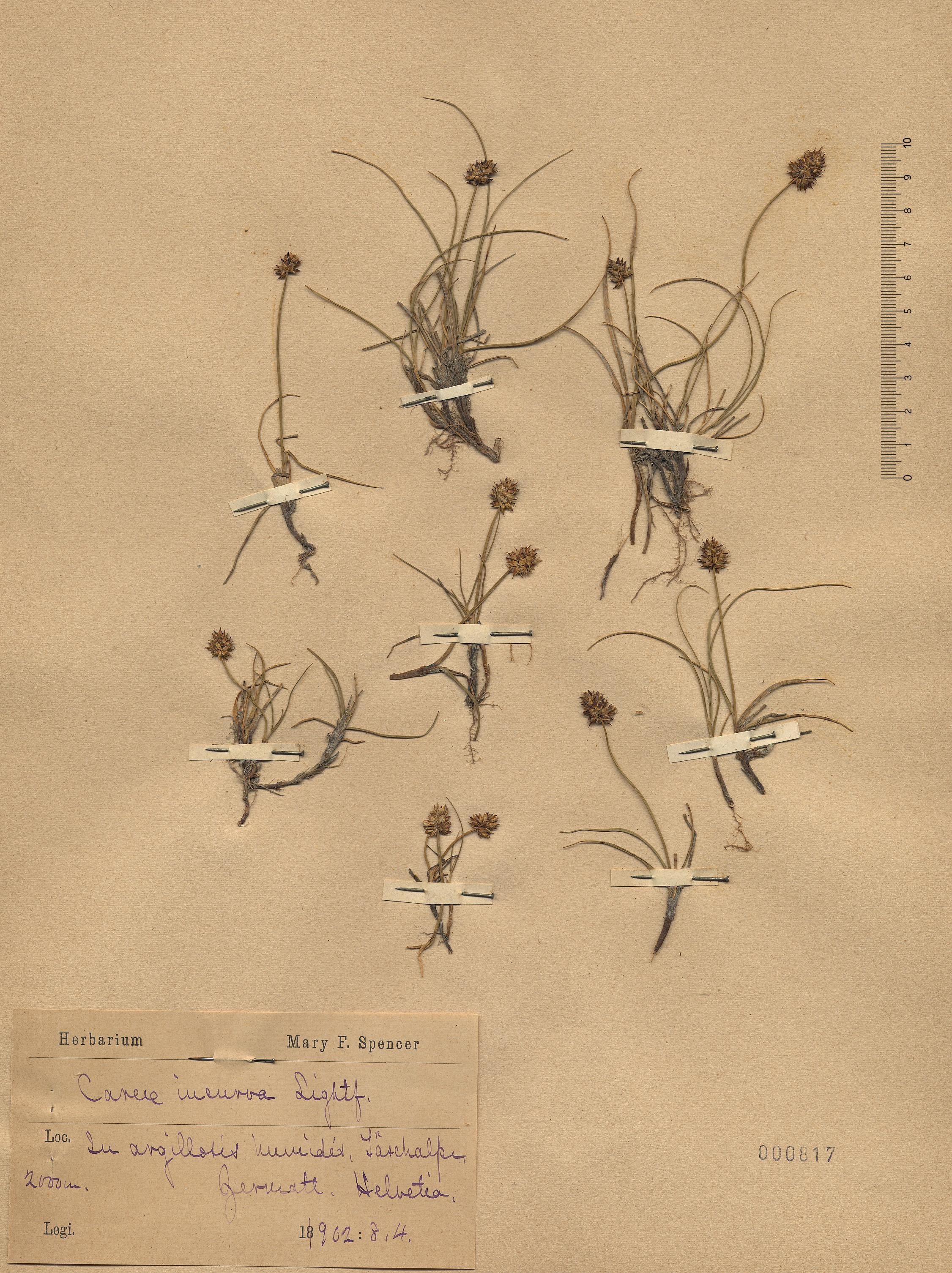&copy; Hortus Botanicus Catinensis - Herb. sheet 000817<br>