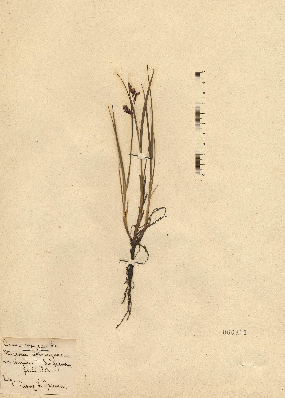 © Hortus Botanicus Catinensis - Herb. sheet 000813<br>