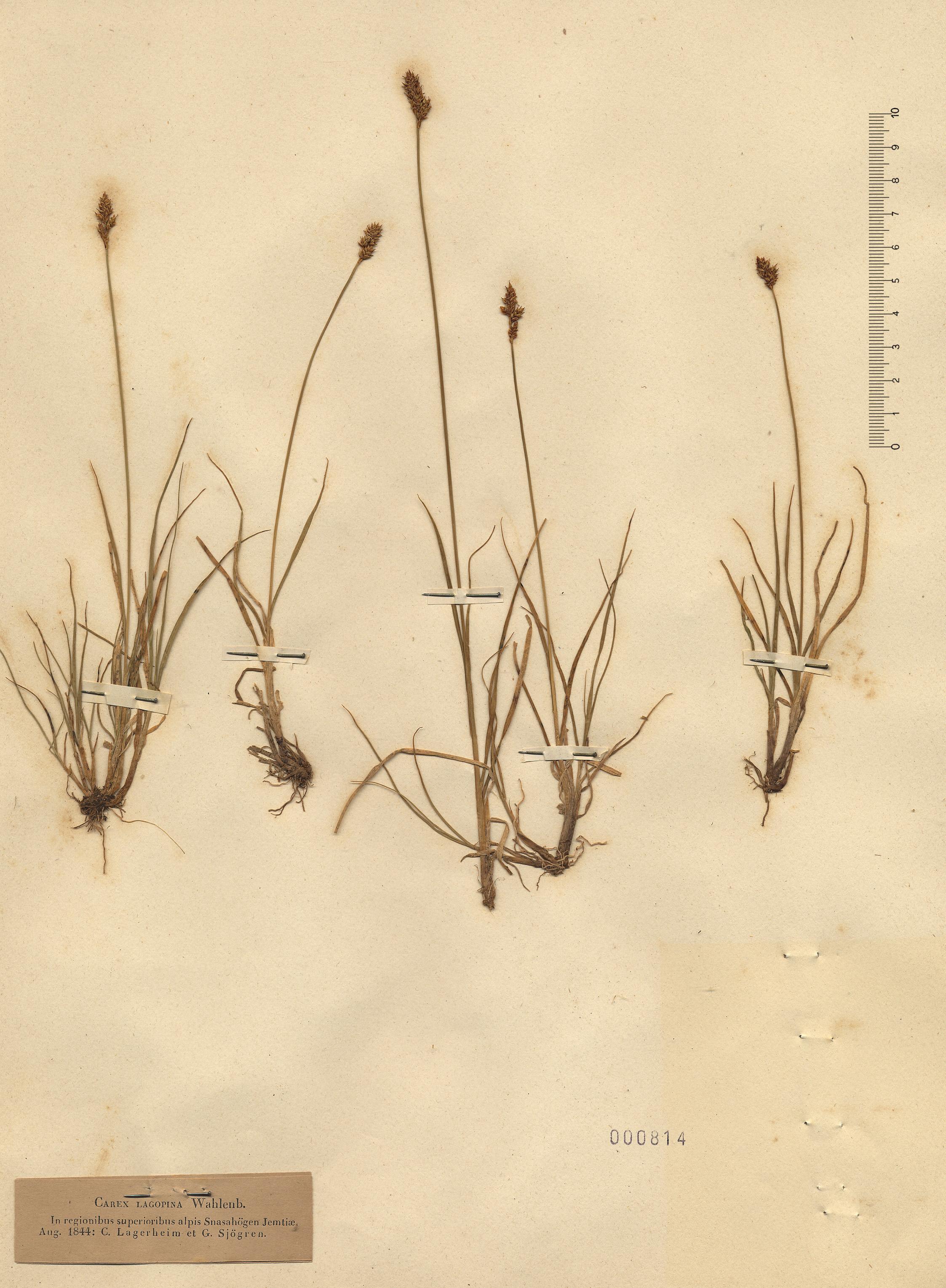 © Hortus Botanicus Catinensis - Herb. sheet 000814<br>