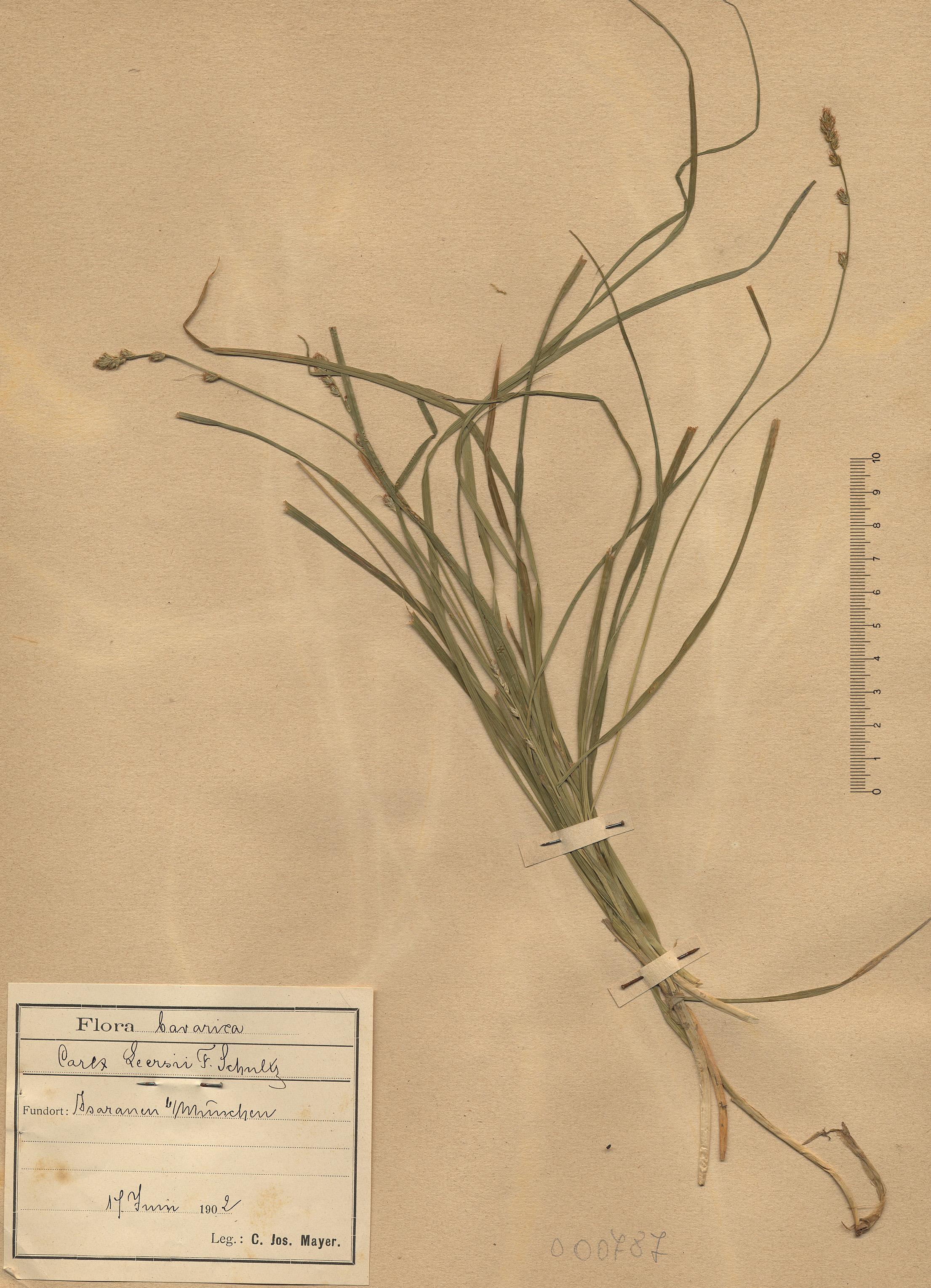 © Hortus Botanicus Catinensis - Herb. sheet 000817<br>