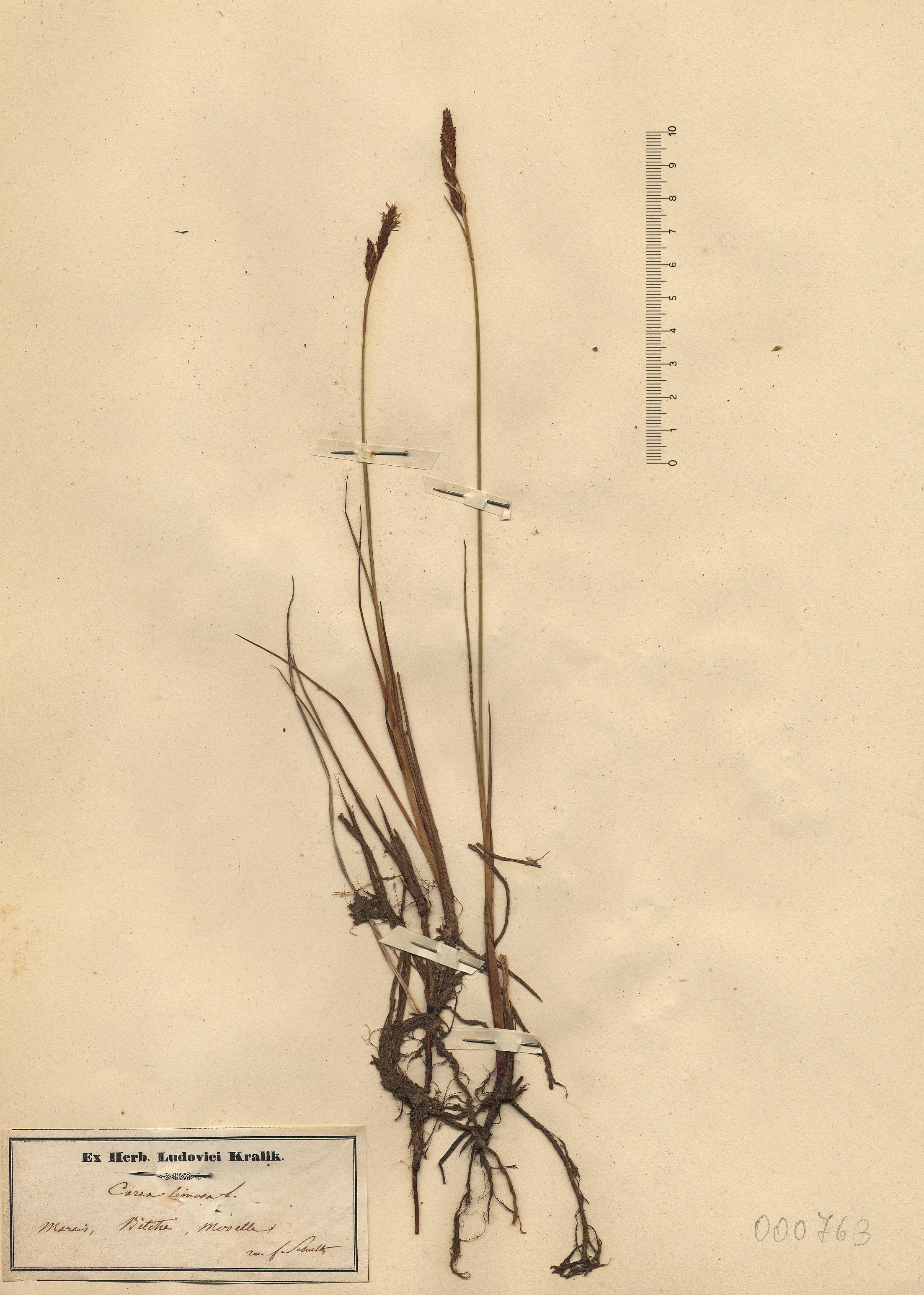 © Hortus Botanicus Catinensis - Herb. sheet 000763<br>