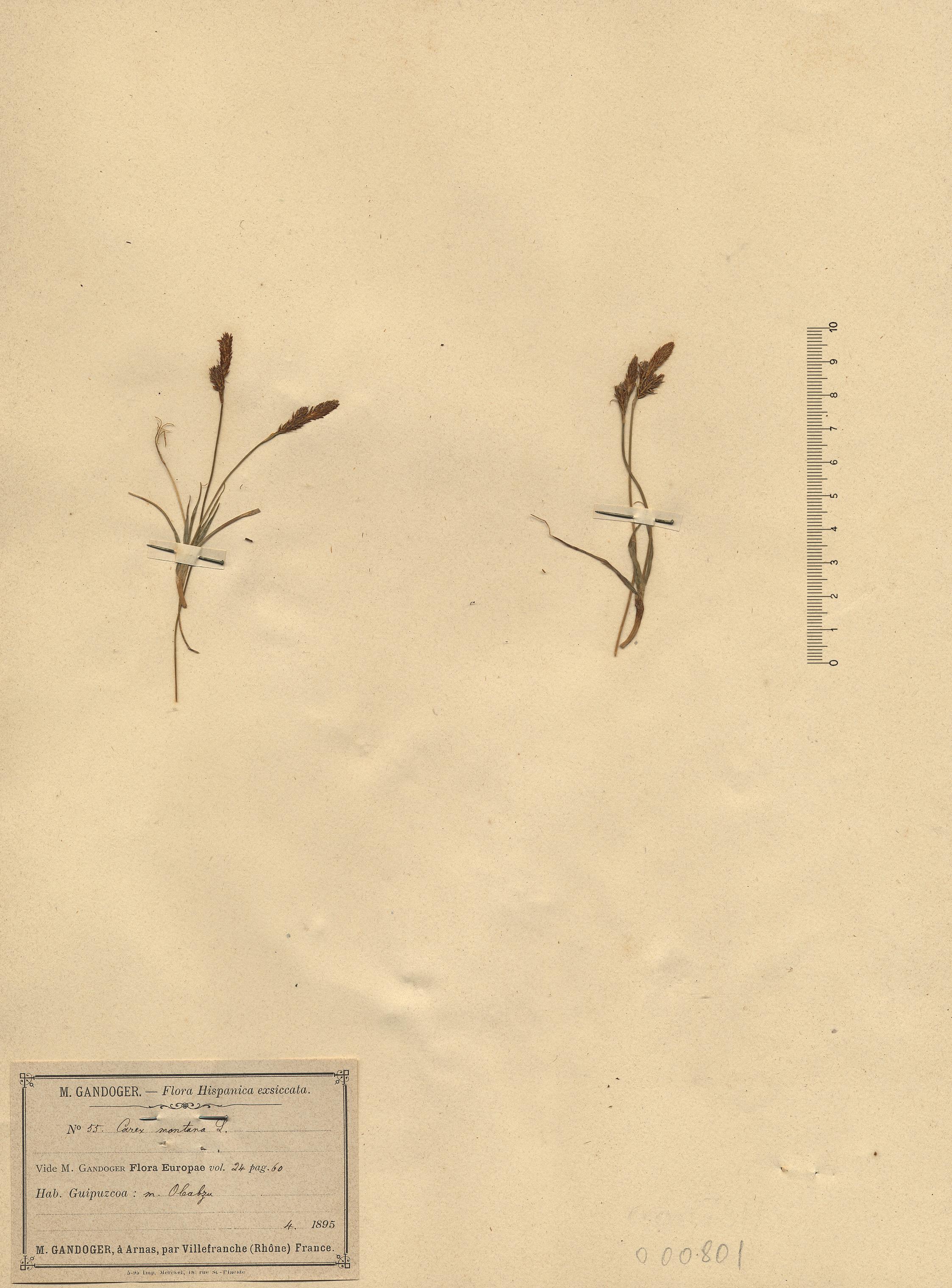 © Hortus Botanicus Catinensis - Herb. sheet 000801<br>