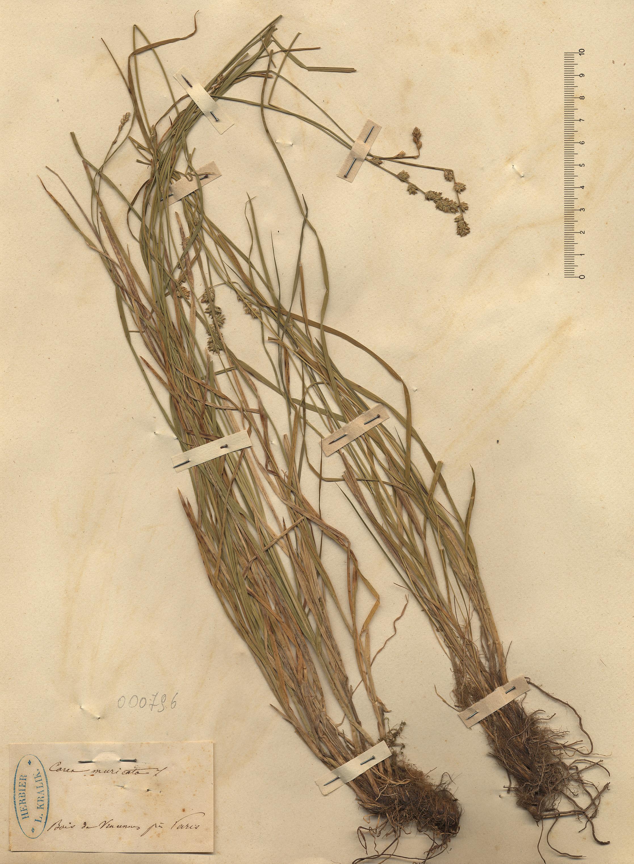 © Hortus Botanicus Catinensis - Herb. sheet 000796<br>