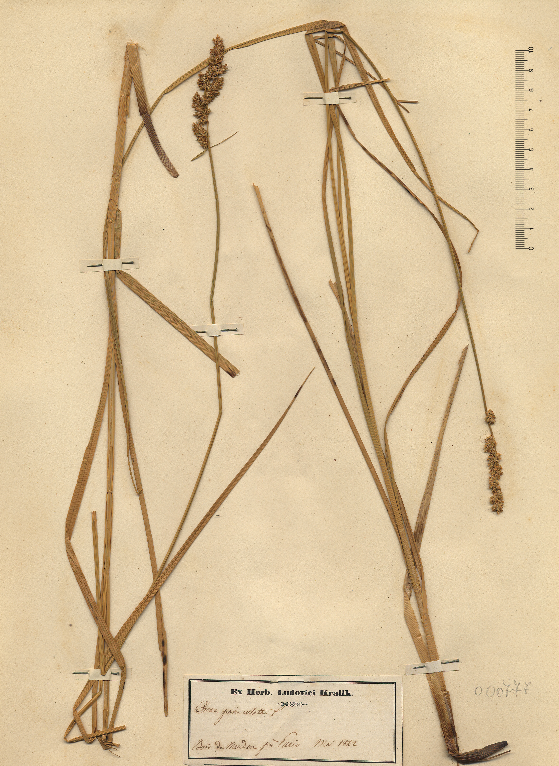 © Hortus Botanicus Catinensis - Herb. sheet 000777<br>