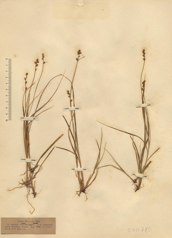 © Hortus Botanicus Catinensis - Herb. sheet 000780<br>