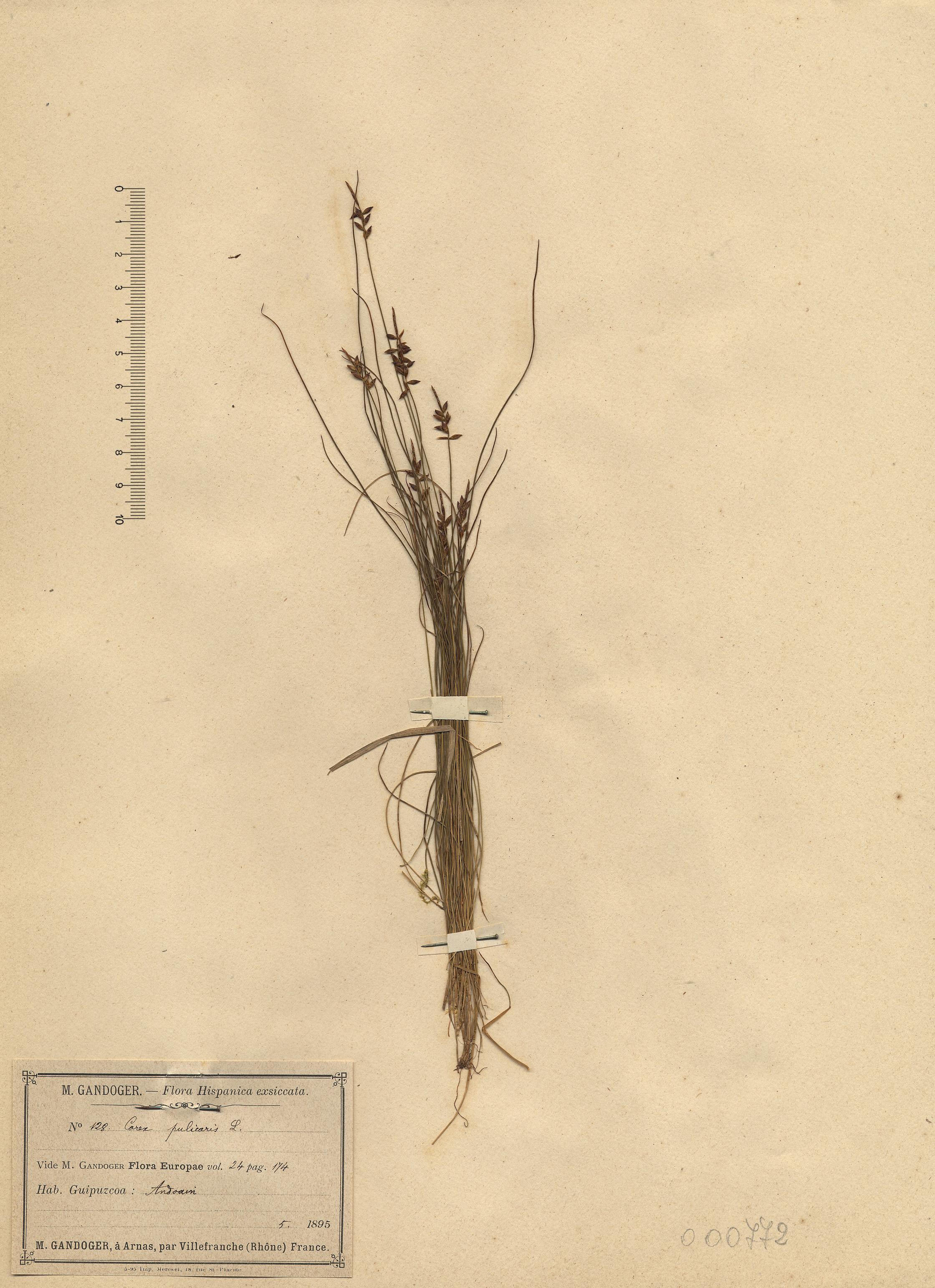 © Hortus Botanicus Catinensis - Herb. sheet 000772<br>