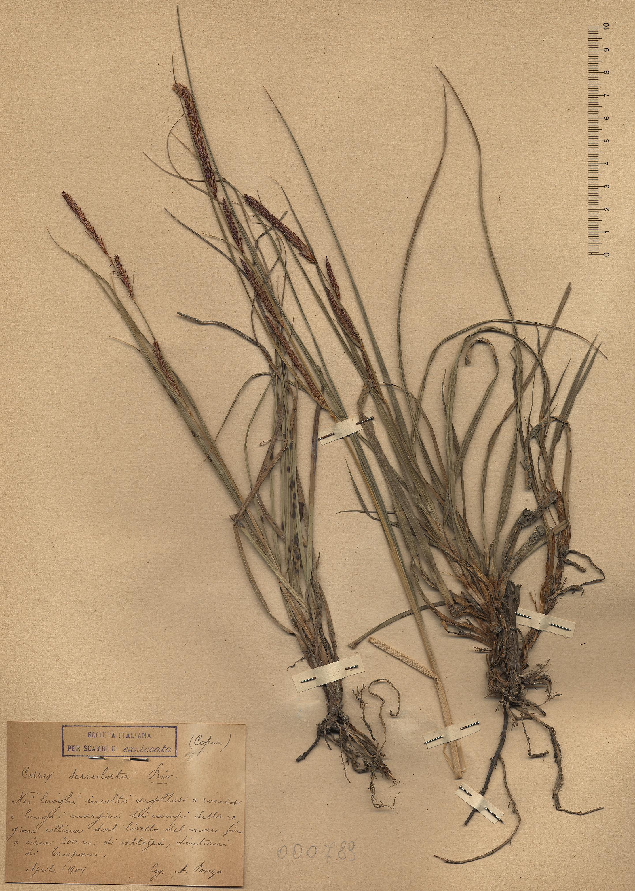 © Hortus Botanicus Catinensis - Herb. sheet 000789<br>