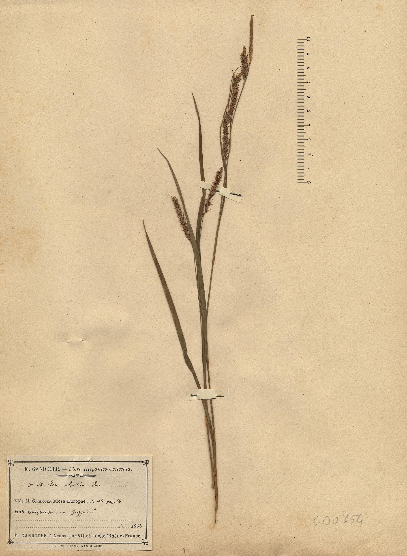 © Hortus Botanicus Catinensis - Herb. sheet 000754<br>